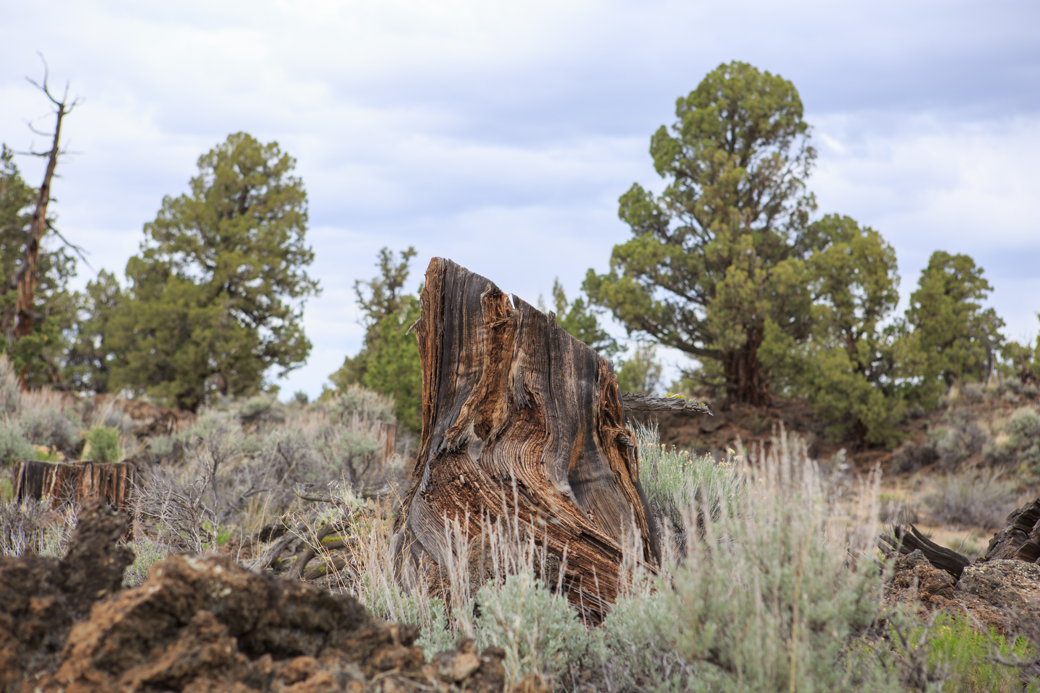 Before the Badlands was designated a protected wilderness area, old-growth junipers were frequently cut down for furniture and other decorative pieces. Their stumps remain scattered throughout the wilderness.