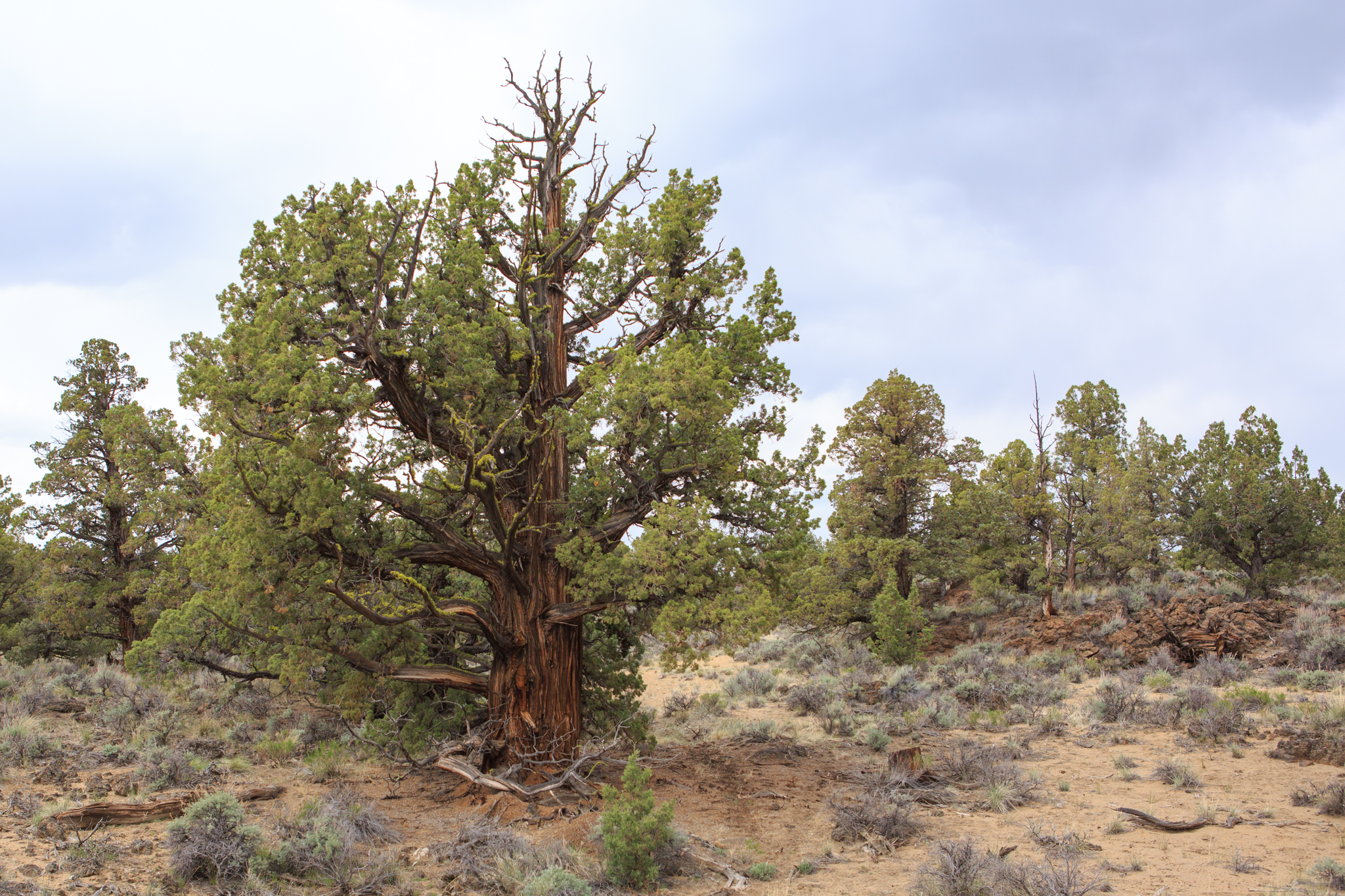Older juniper trees have a squat and round shape compared to their younger counterparts. These hardy trees can live for hundreds of years, in some cases more than a thousand.