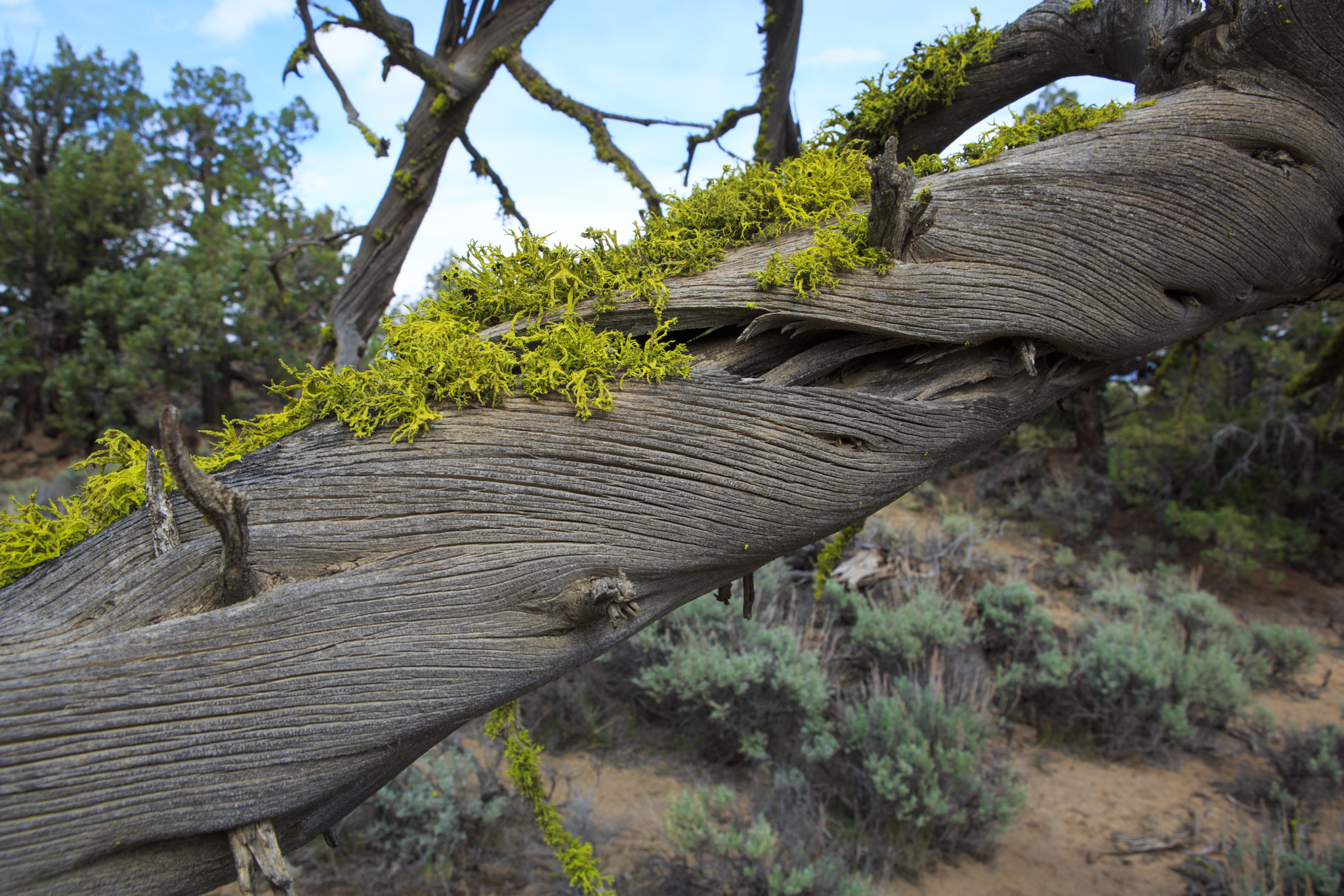 The twisted and gnarled branches of old junipers are often covered in bright green lichen.