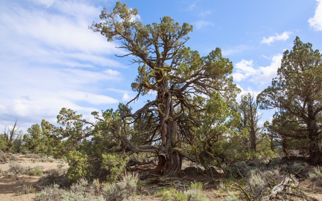 A large and ancient juniper stands next to a trail in the Badlands Wilderness.