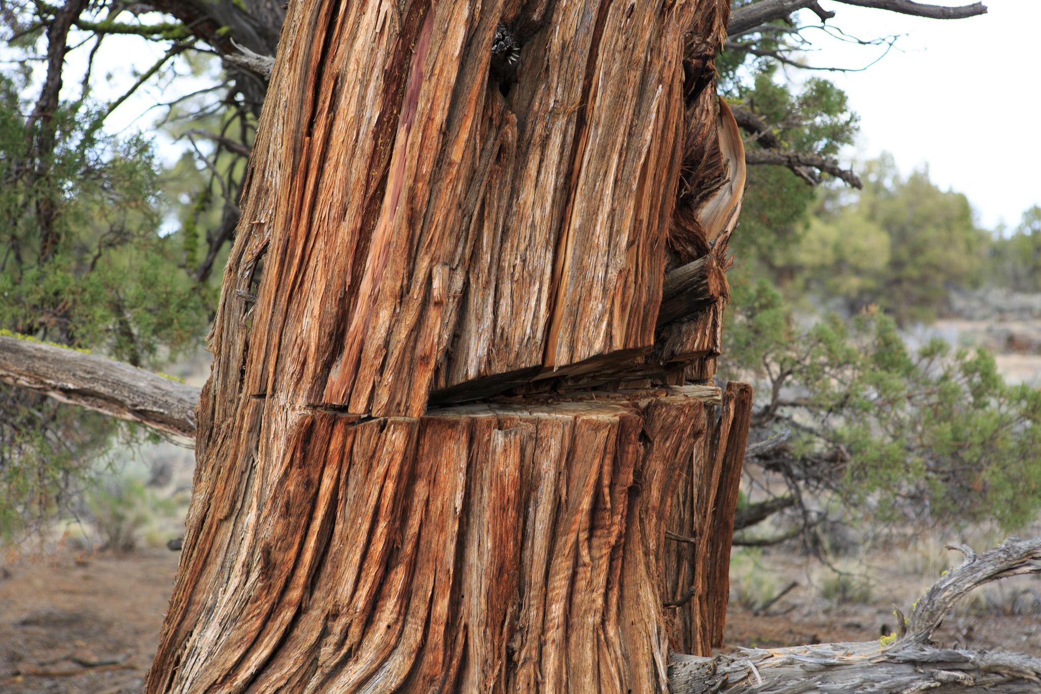 A juniper tree bears the mark of an attempted cutting.