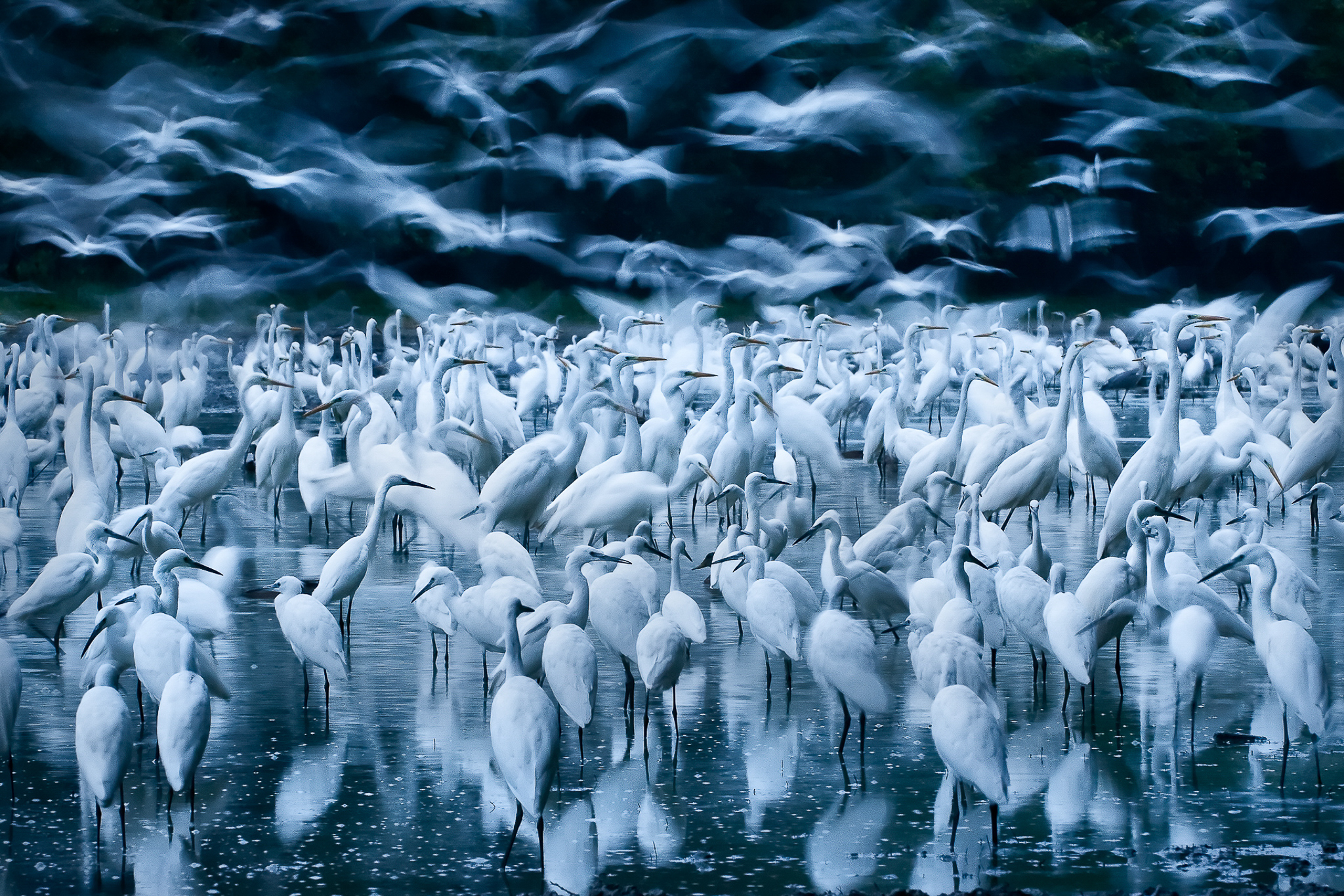 A drying lake bed in Hungary's Danube-Dráva National Park attracts a large flock of great egrets.