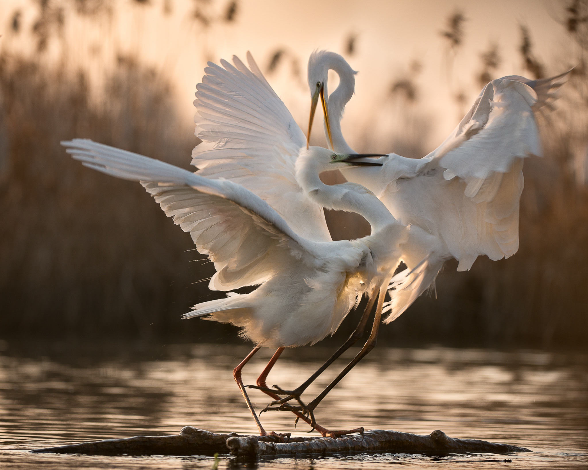 Like many herons, the great egret has a long neck that is pulled into an 's'-shaped curve when in flight.