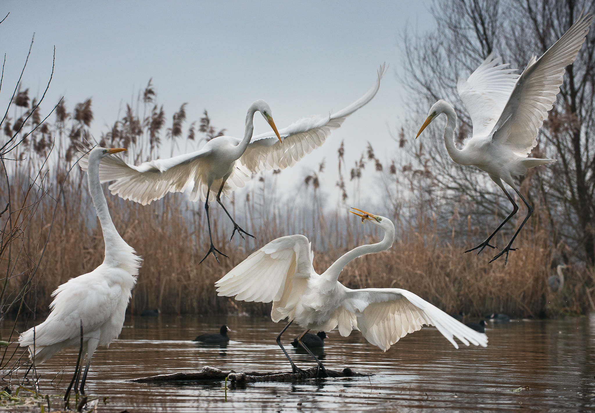 Great egrets, photographed here in Hungary's Balaton Uplands National Park, are easy to recognize because of their broad white wings and slow, sweeping flight.