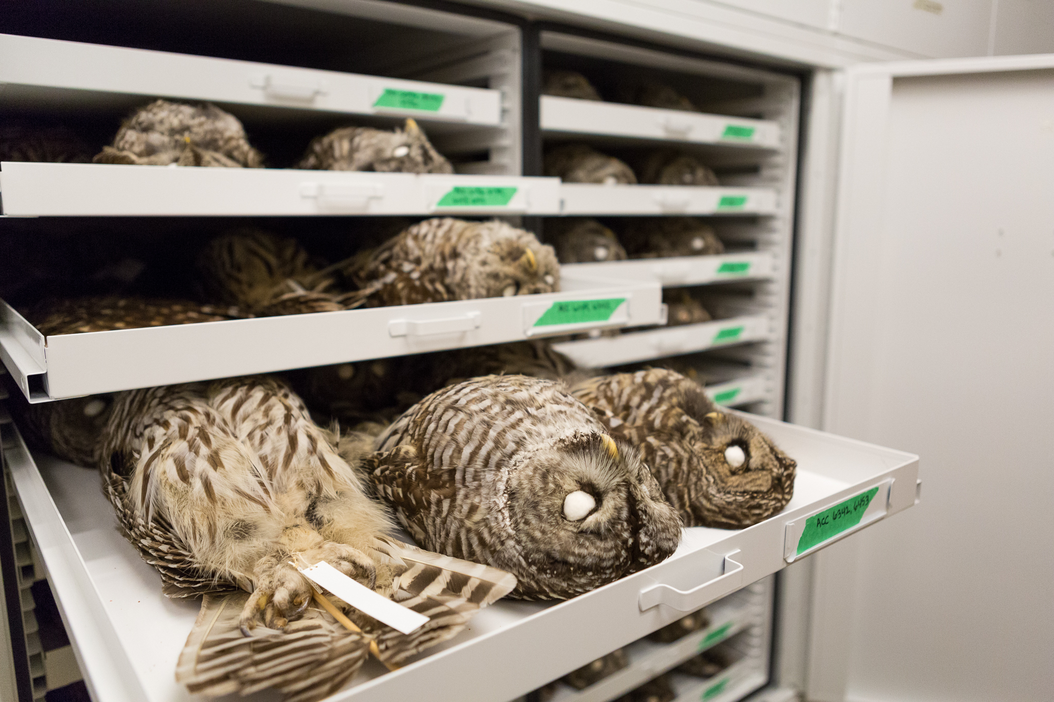 Jack Dumbacher and other scientists use barred owl specimens housed at the California Academy of Sciences in studies of the impacts of rodenticides on both barred and spotted owls, and in genomics research on the two species and their hybrids.