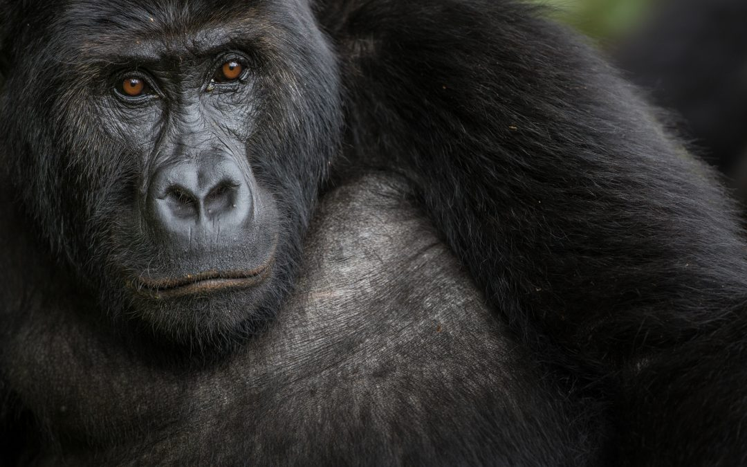 A female Grauer's gorilla calmly observes the team as it approaches. The Grauer's gorilla (also known as eastern lowland gorilla) is the largest of the four gorilla subspecies, narrowly beating its closest relative, the mountain gorilla. There are an estimated 2000-5000 left, all of them in eastern DRC.