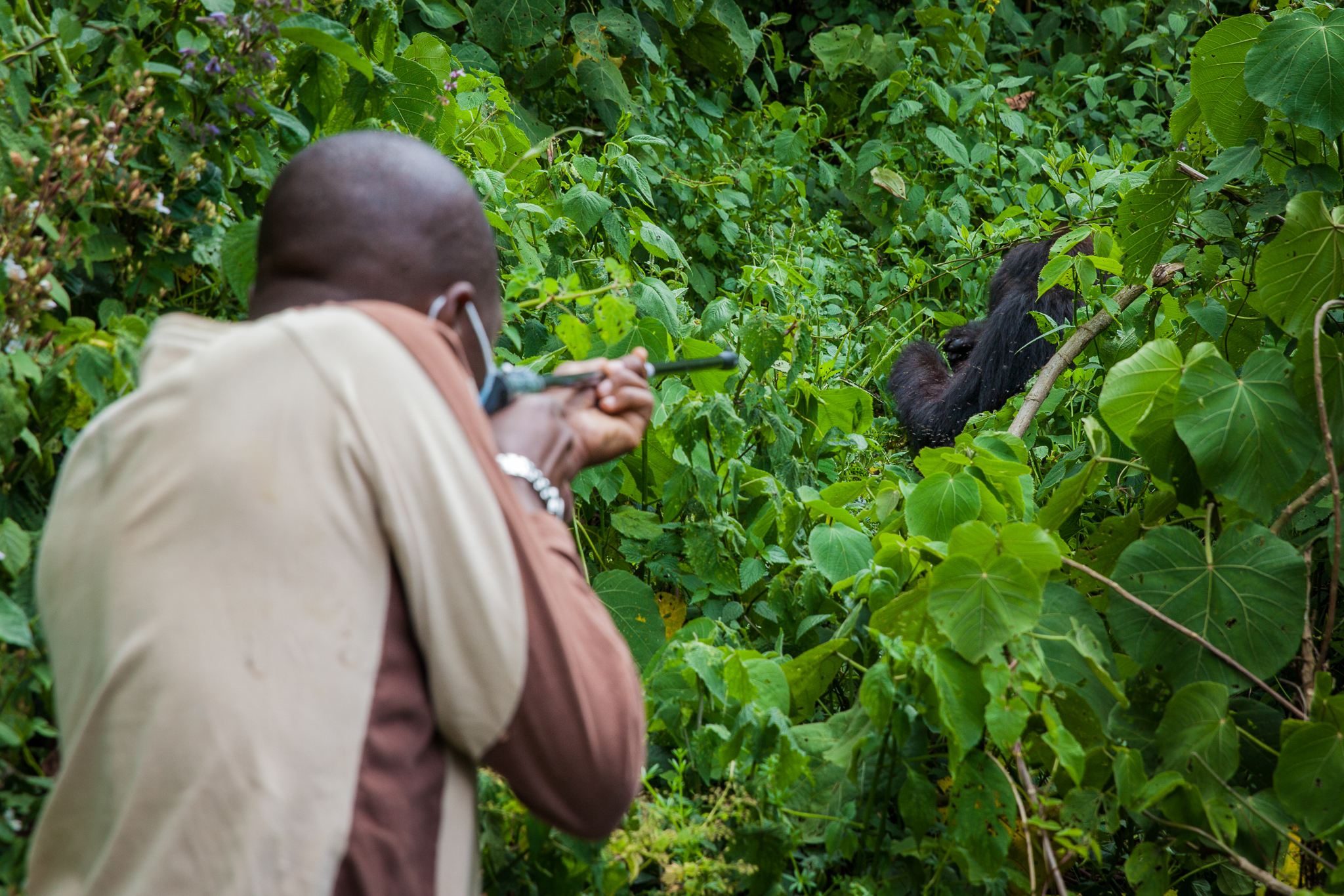 Eddy Kabale takes careful aim before puling the trigger. To avoid frightening or intimidating the group's silverback male, the team followed 33-year-old female mountain gorilla Gashangi until she became separated from the rest of her family.