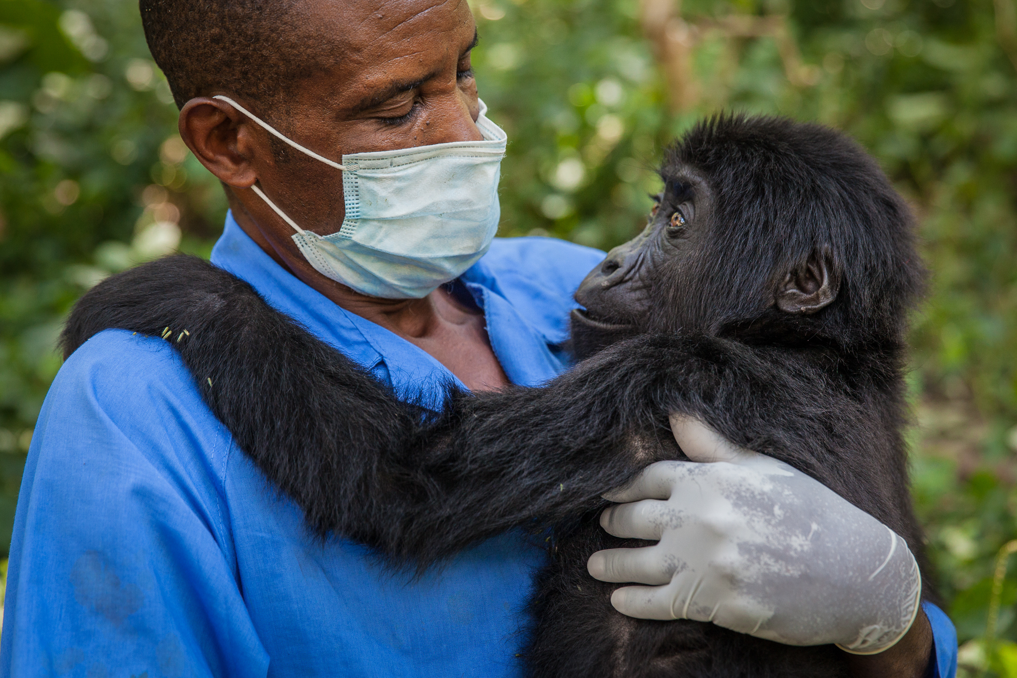 Kalonge wakes up from sedation to find herself in the safety of carer Phillip's arms, immediately reaching out to place her arms around him. Their bond is comparable to that she would have formed with her natural parents in the wild, and her trust for Phillip is complete.