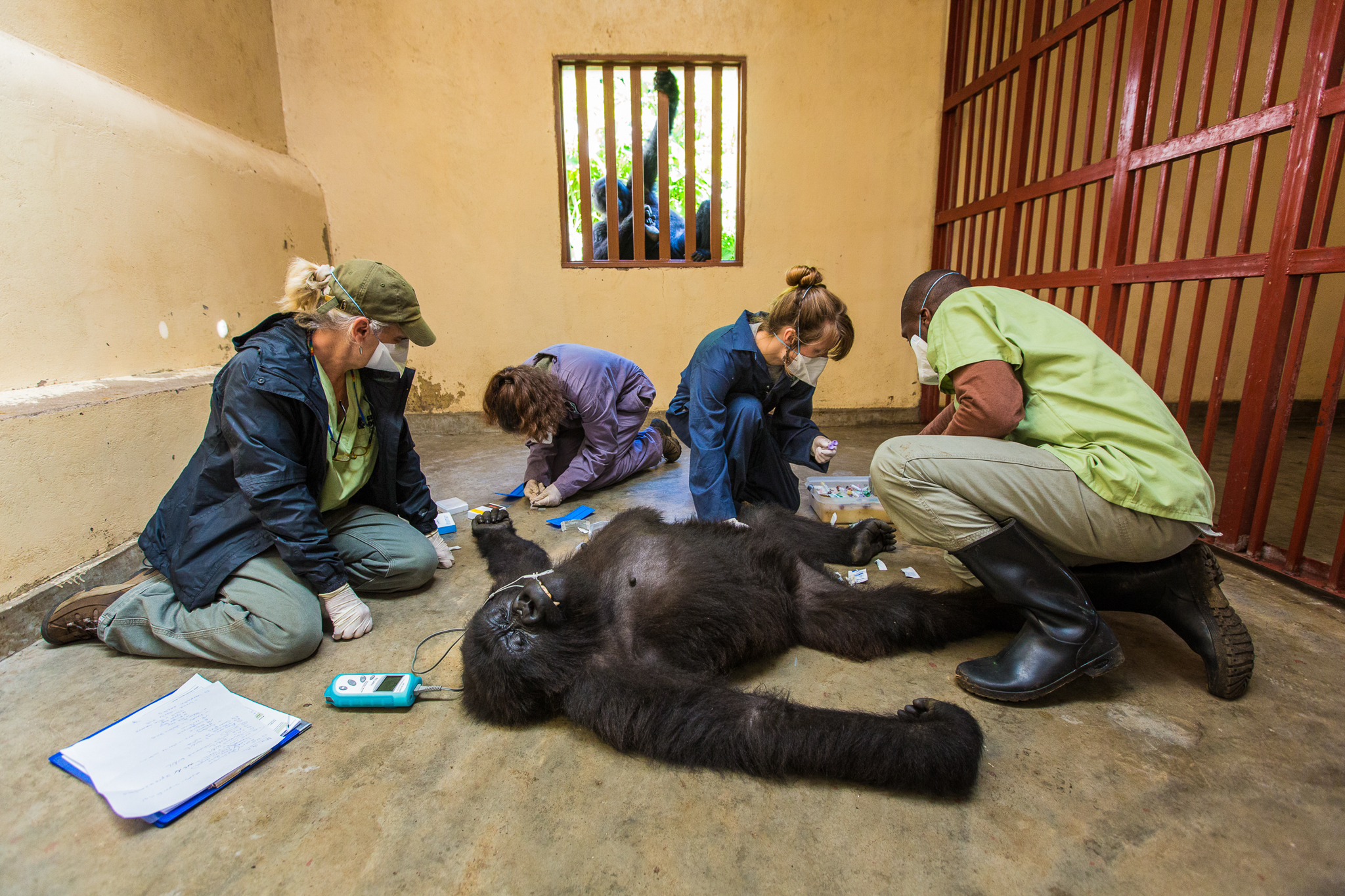 Ndeze watches with concern as the Gorilla Doctors team examines Maisha. Earlier, when Maisha was meant to be fasting in preparation for her examination, Ndeze attempted to sneak her bananas through the bars.