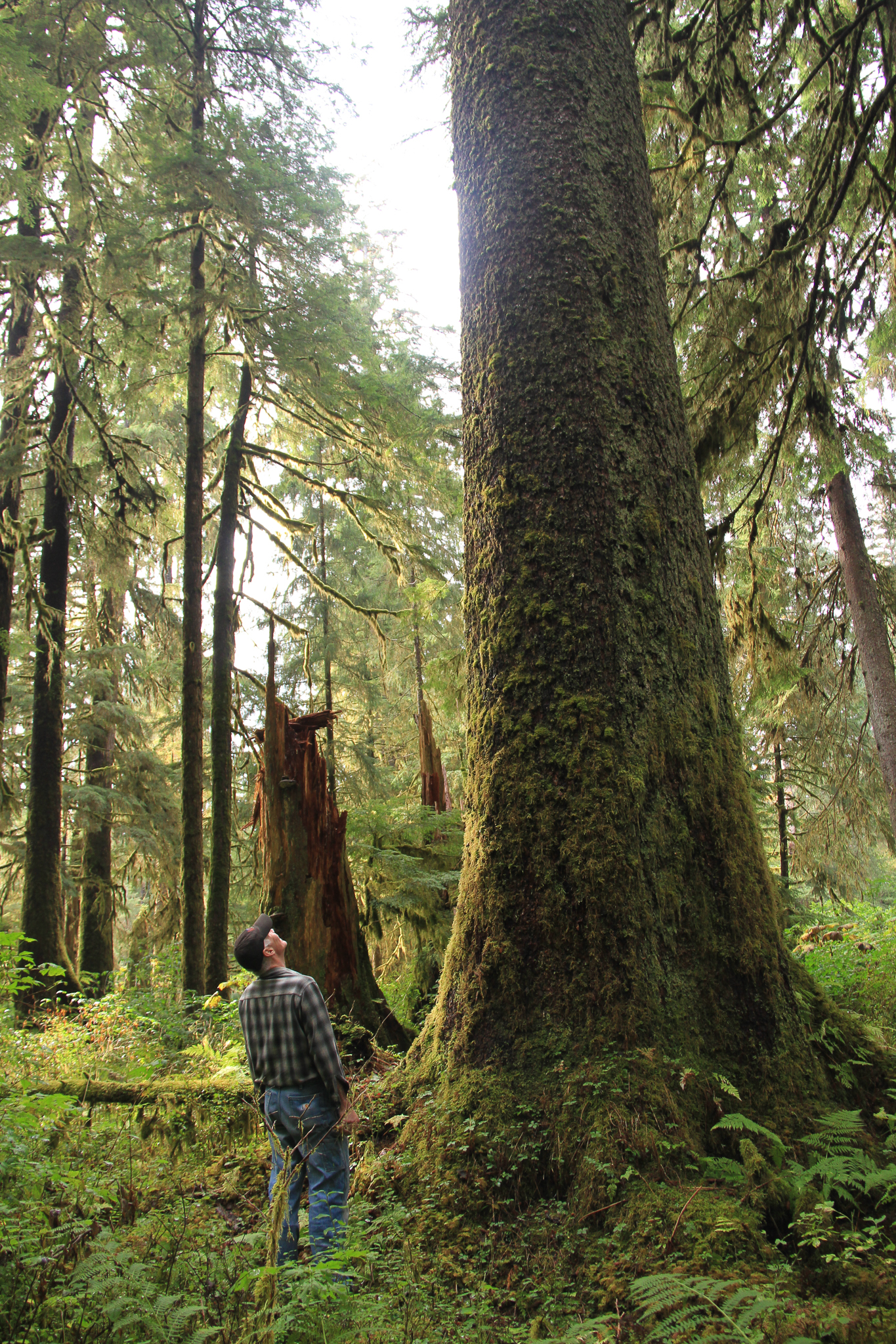 Michael Kampnich, a community organizer with The Nature Conservancy on Prince of Wales Island, looks up at an old growth Sitka spruce in the Honker Divide.