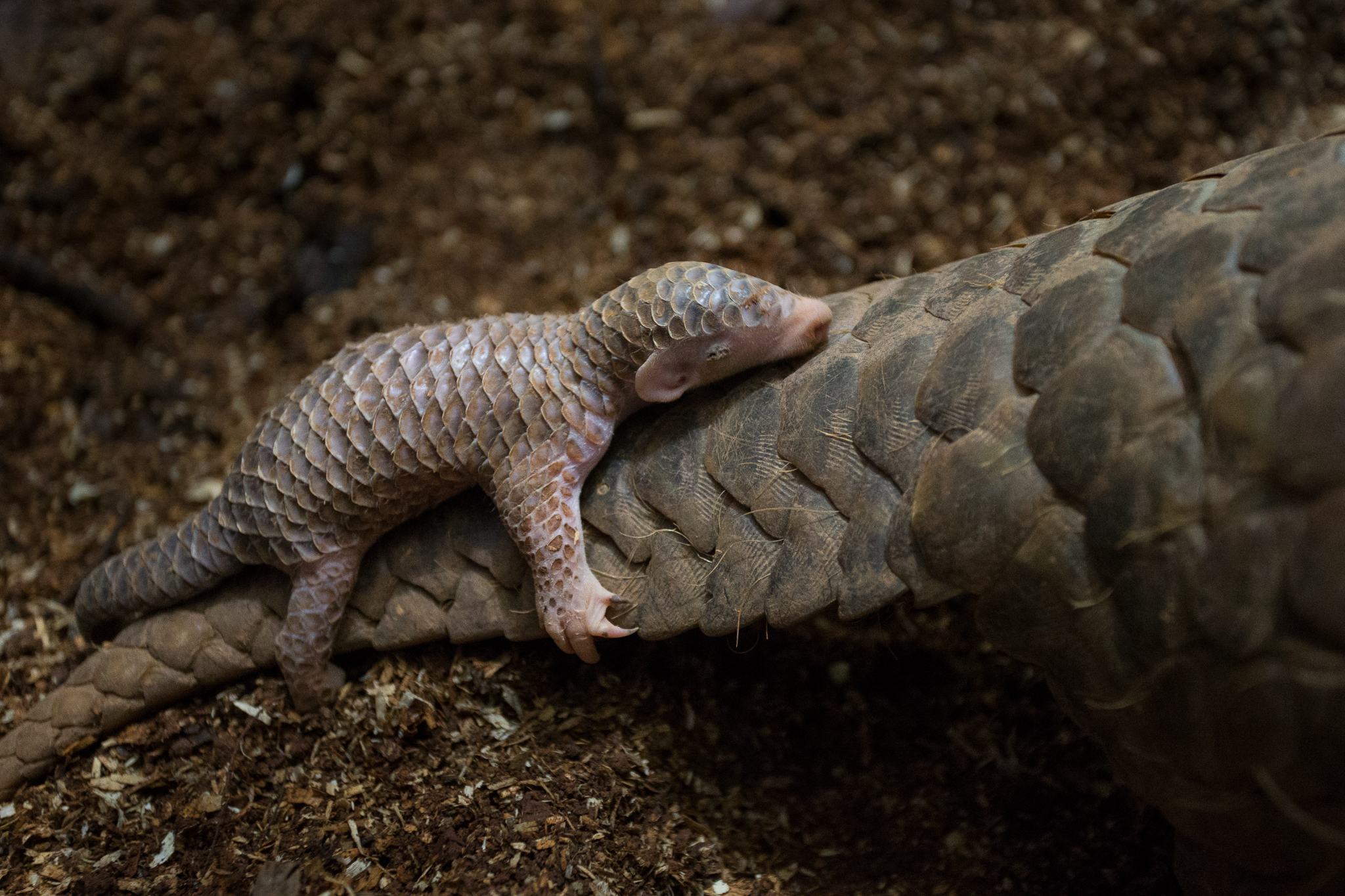 A two-week-old Chinese pangolin (Manis pentadactyla) clings to its mother, who was rescued from poachers and is now part of a captive breeding program at the Taipei Zoo.
