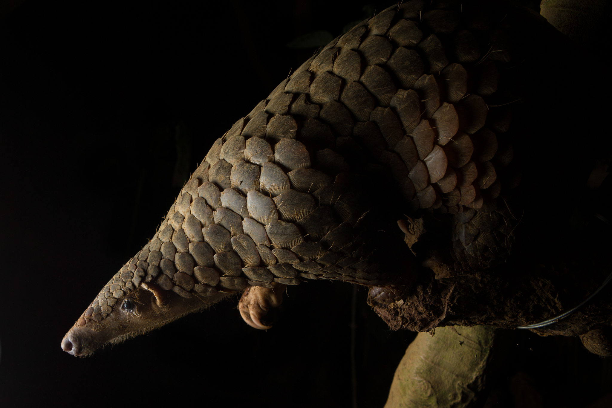After being confiscated from poachers and rehabilitated, a Sunda pangolin (Manis javanica) awaits release into Cuc Phuong National Park in Vietnam.