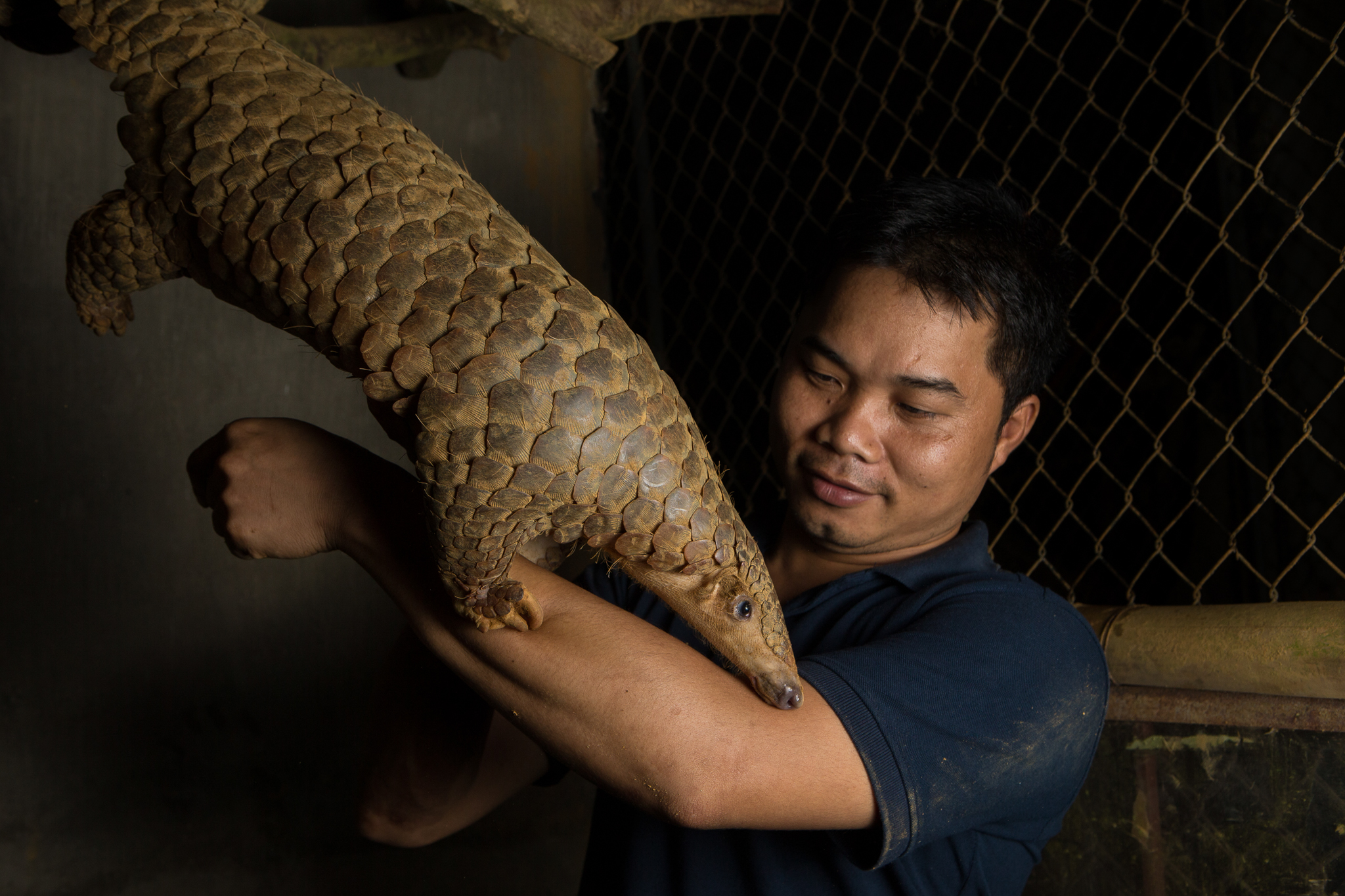 A rescued Sunda pangolin gets a helping hand from Thai Van Nguyen, Executive Director of Save Vietnam's Wildlife.