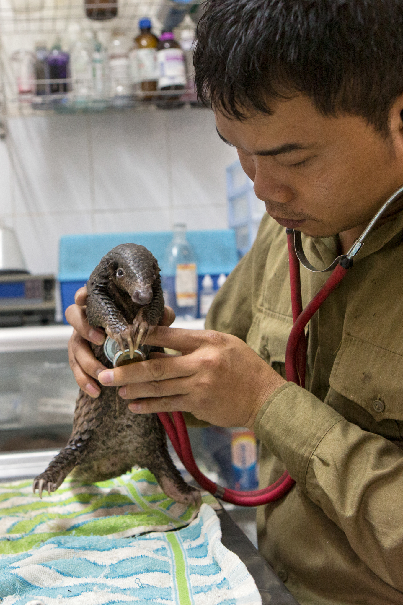 Thai Van Nguyen, Executive Director of Save Vietnam's Wildlife, examines a three-month-old rescued Sunda pangolin.