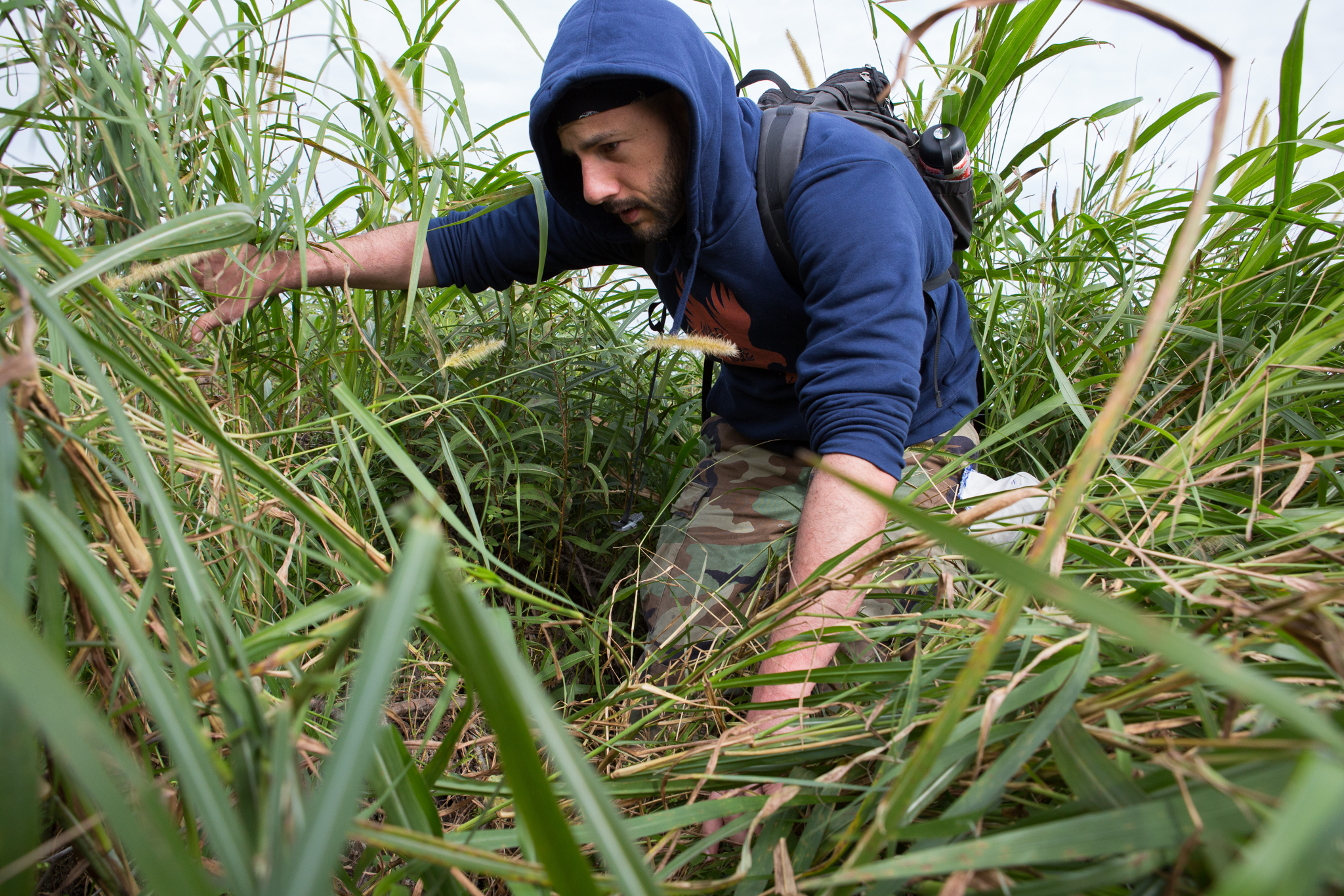 David Steen pushes his way through the tall grass in search of Burmese pythons.