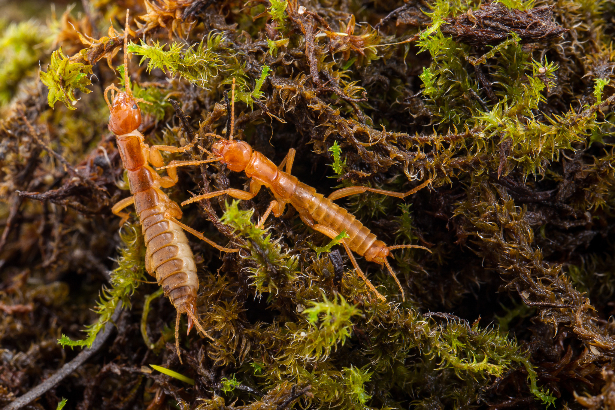 Photo of two ice crawlers on moss by Abbott Nature Photography