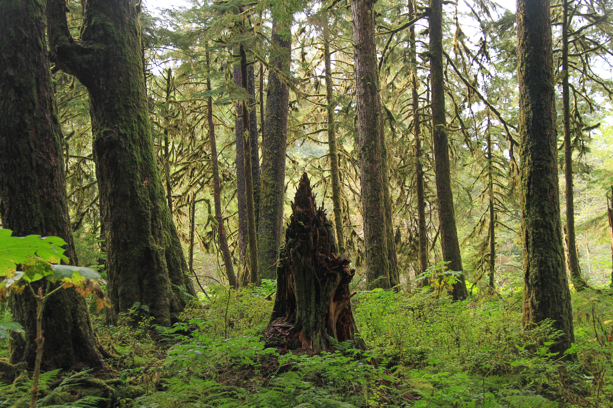 A decaying snag in old growth forest inside the protected Honker Divide on Prince of Wales Island, Southeast Alaska.