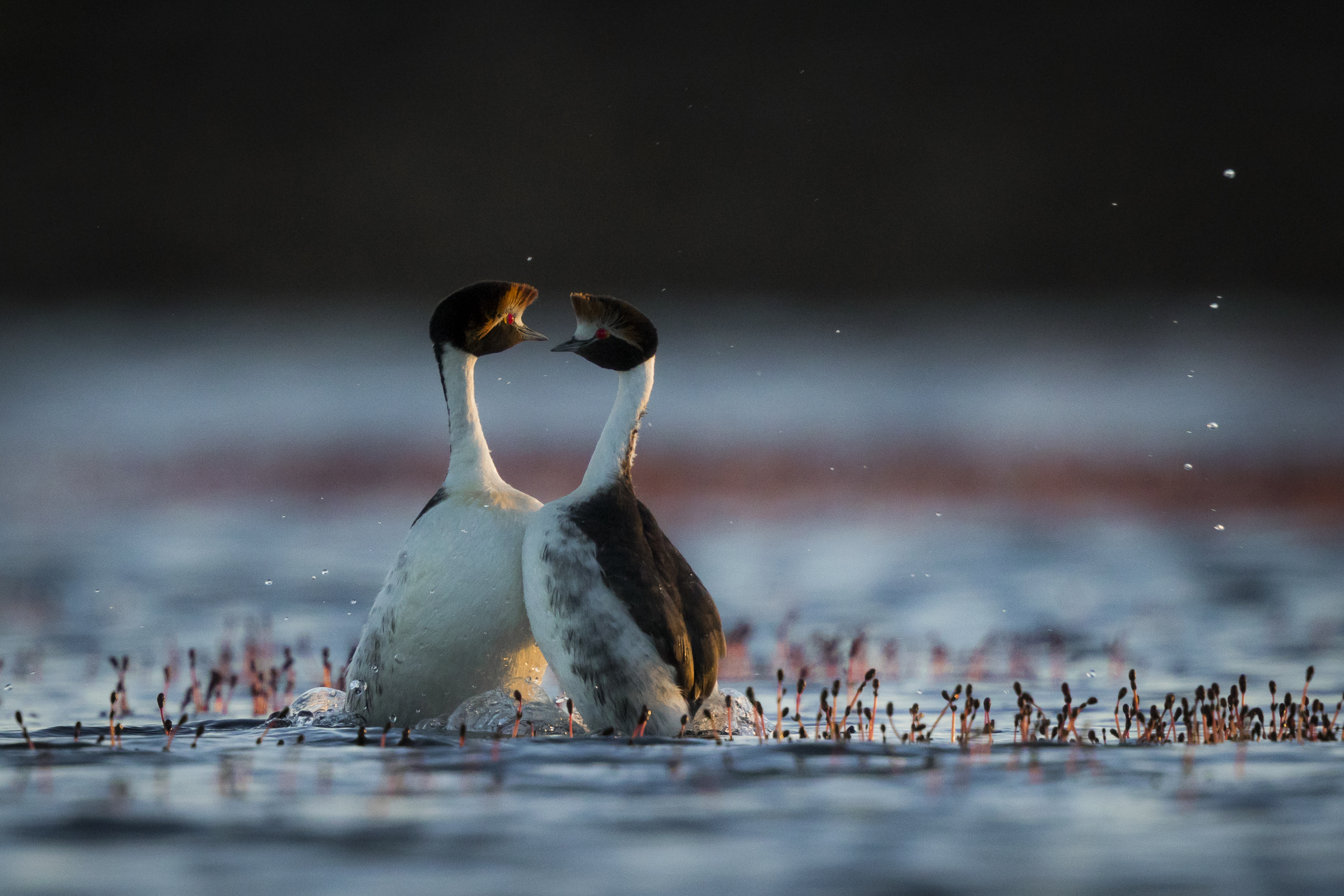 A pair of hooded grebes bond during their highly synchronized courtship display.