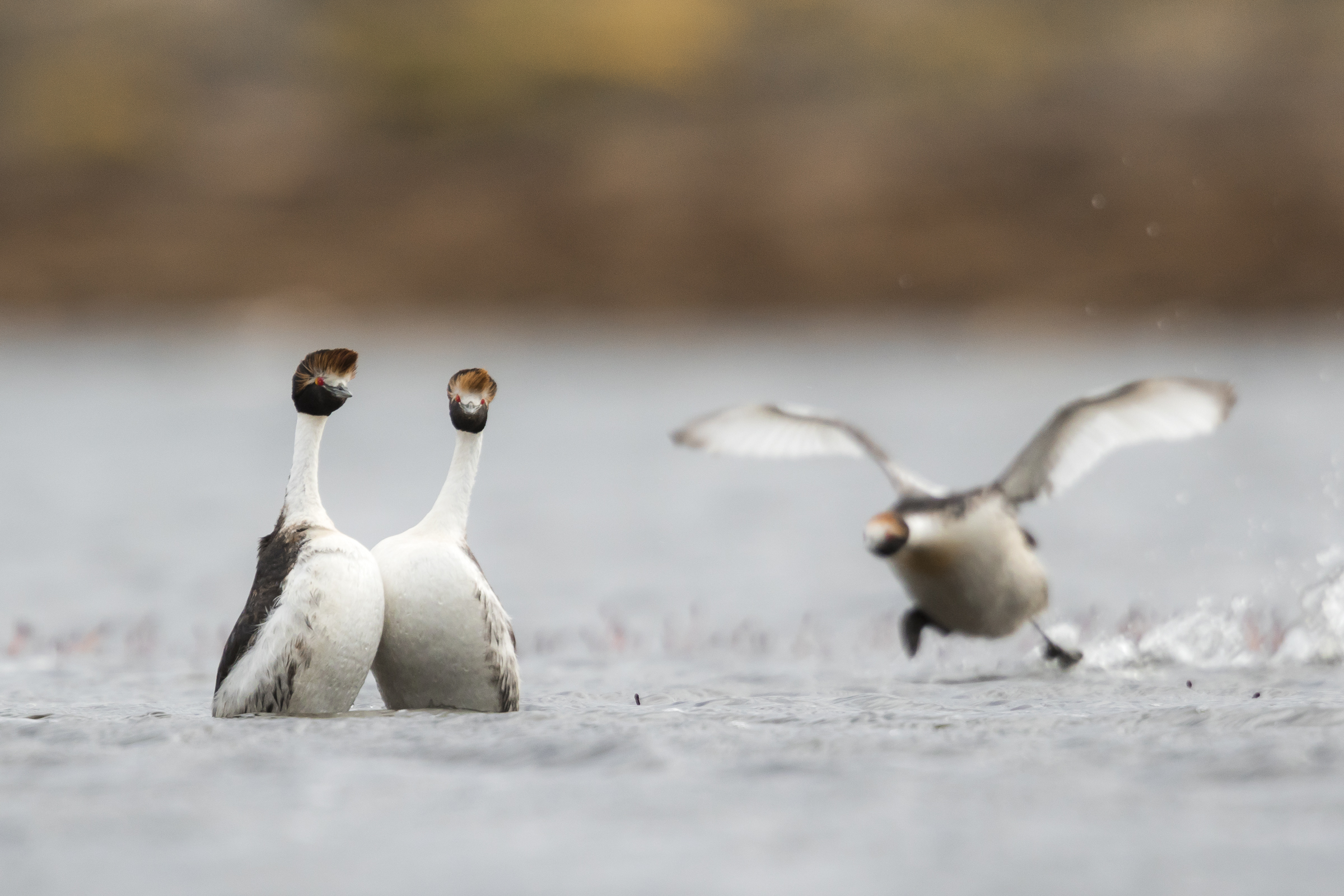 Competition for mates and breeding platforms is strong, and hooded grebes frequently fight for access.