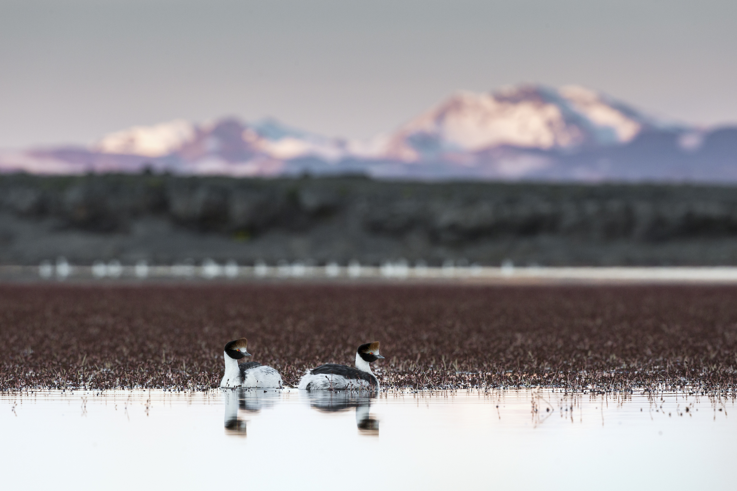 A pair of hooded grebes rest on a lake in the Buenos Aires Lake Plateau region with the Jeinimeni Mountains of Chile in the background.