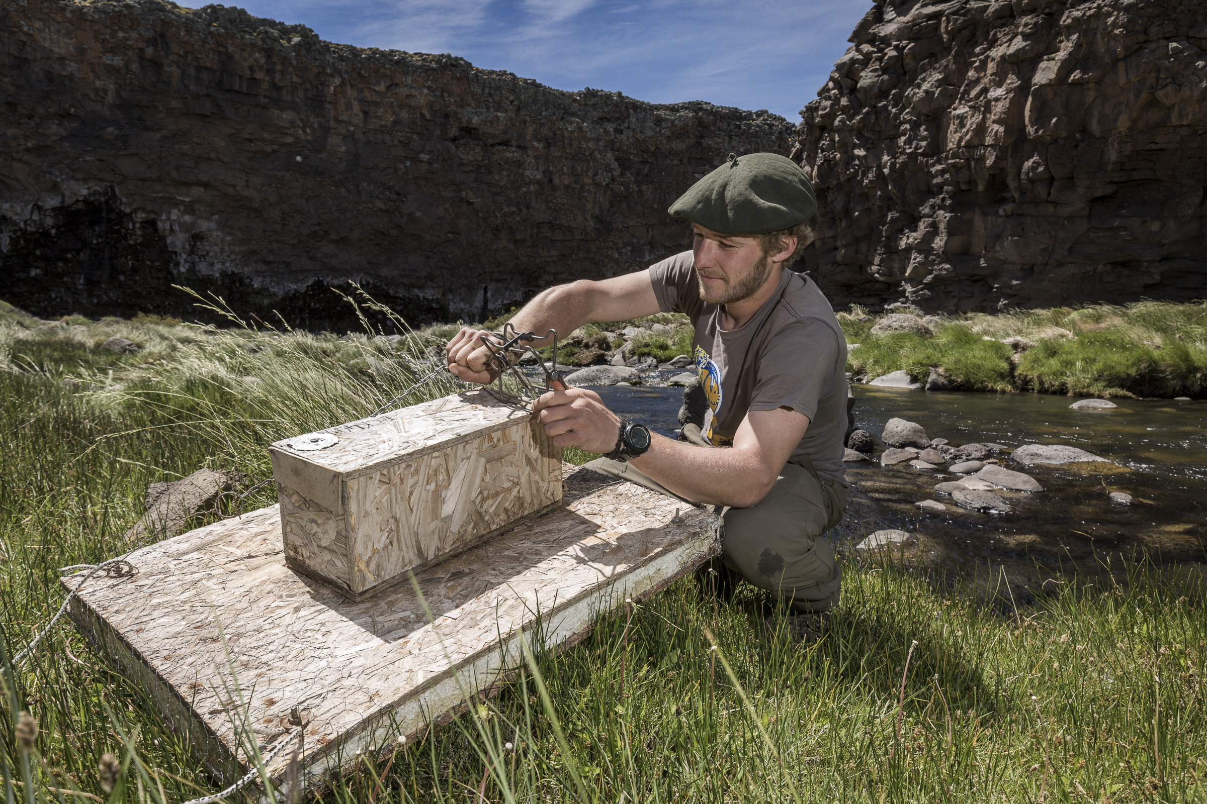 Conservation worker Patrick Buchanan prepares a trap designed to catch and kill the invasive American mink, a major threat to the survival of the hooded grebe.