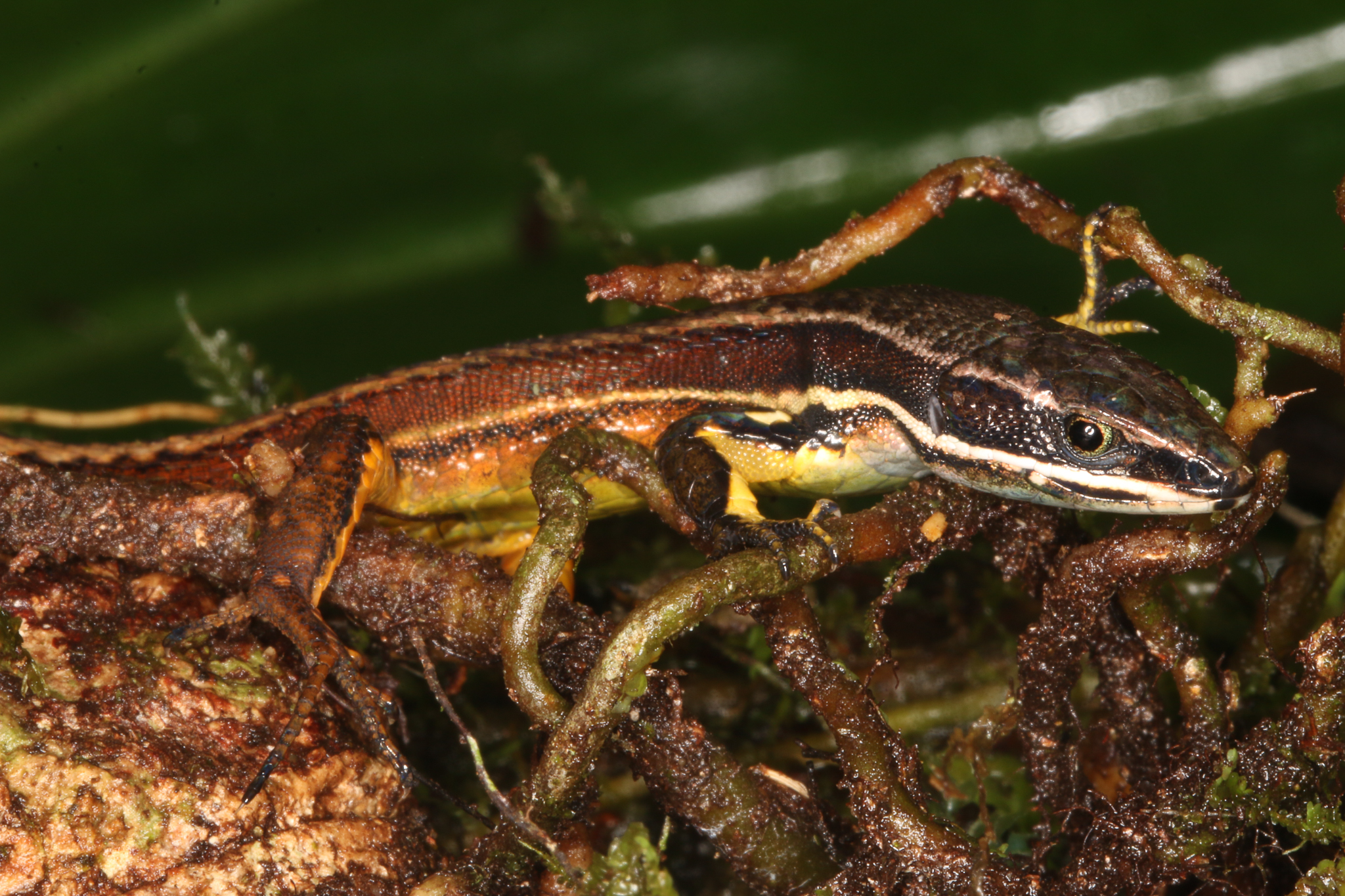 A new species of lizard in the genus Macropholidus, discovered near Camp 1. Photo by Juan C. Chaparro