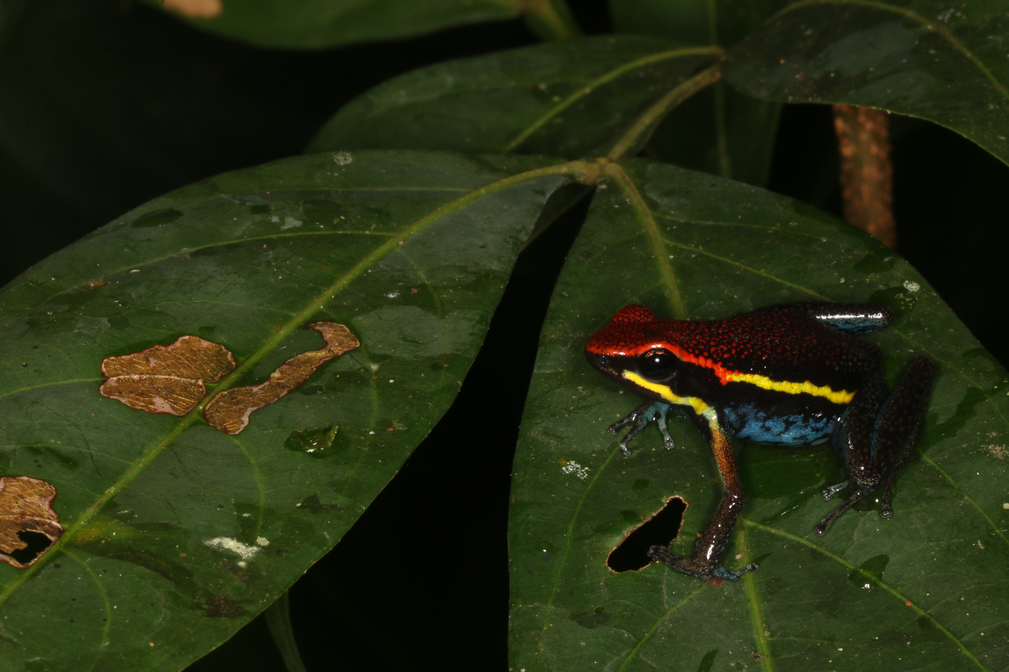 Ameerega macero, an Amazonian species of poison dart frog common in the area, found near Camp 1. Photo by Juan C. Chaparro