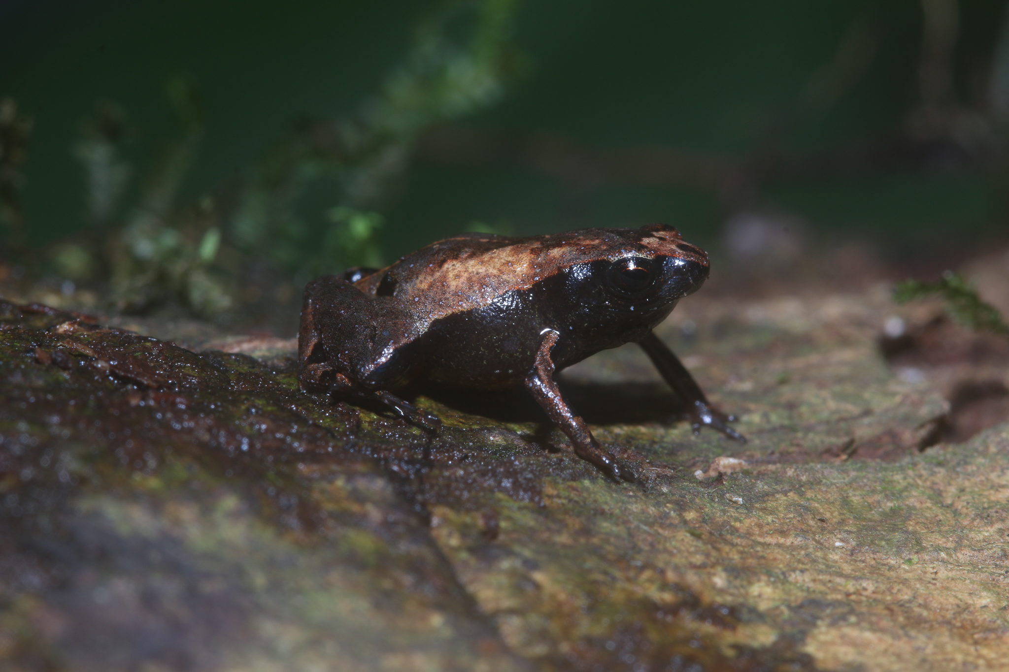 A potential new species of terrestrial Terrarana frog in the genus Noblella, collected near Camp 2. Photo by Santiago Castroviejo