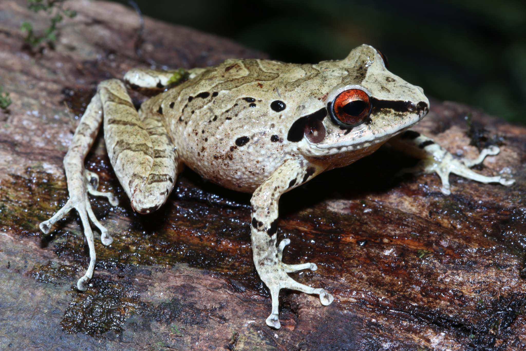 A new species of frog in the genus Pristimantis discovered near Camp 3. Photo by Giussepe Gagliardi