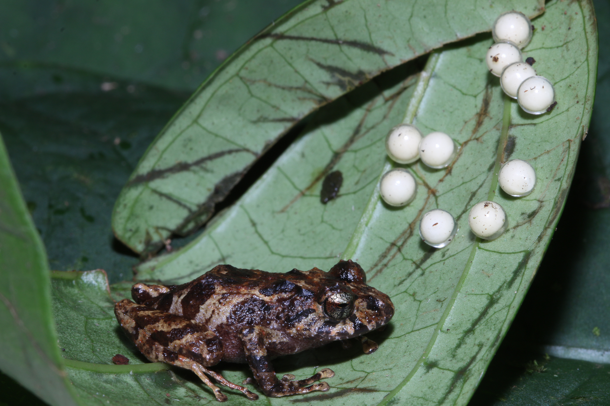 A new species of frog in the genus Pristimantis discovered near Camp 2. Photo by Giussepe Gagliardi