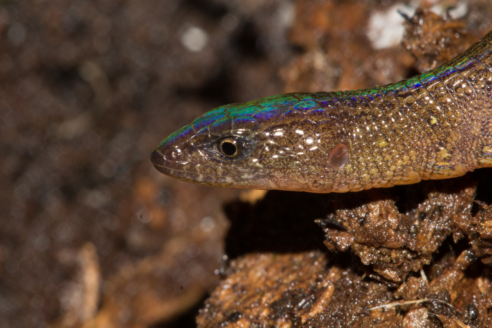 A new species of terrestrial lizard of the Microteiid family collected between Camps 3 and 4. Photo by Santiago Castroviejo