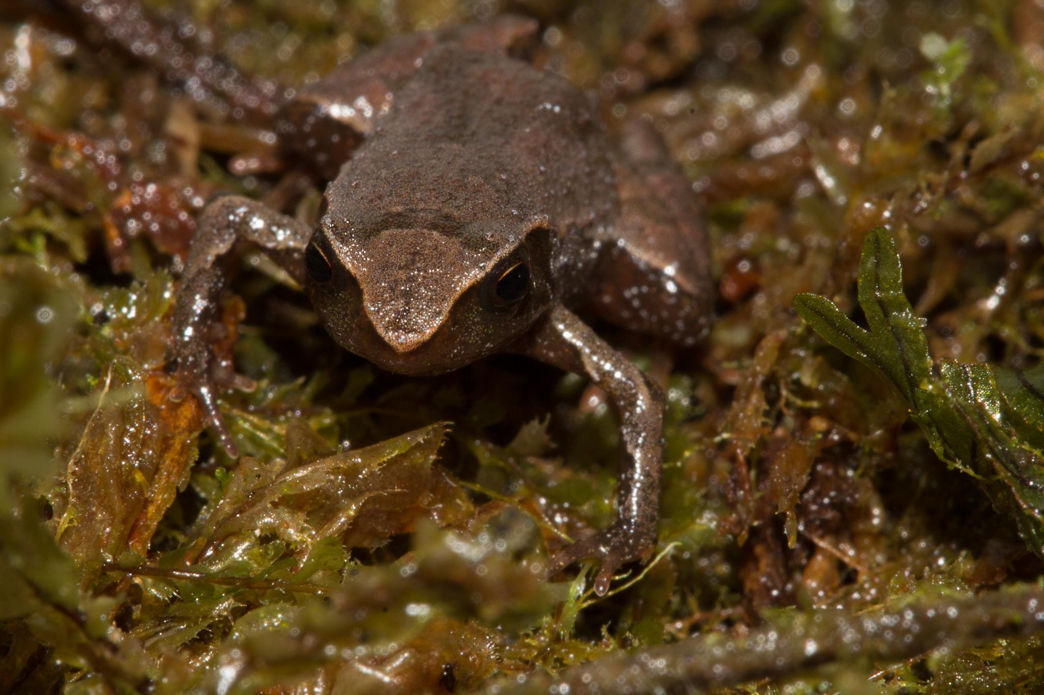 A new species of terrestrial terrarana frog in the genus Noblella, collected near Camp 4. Photo by Santiago Castroviejo