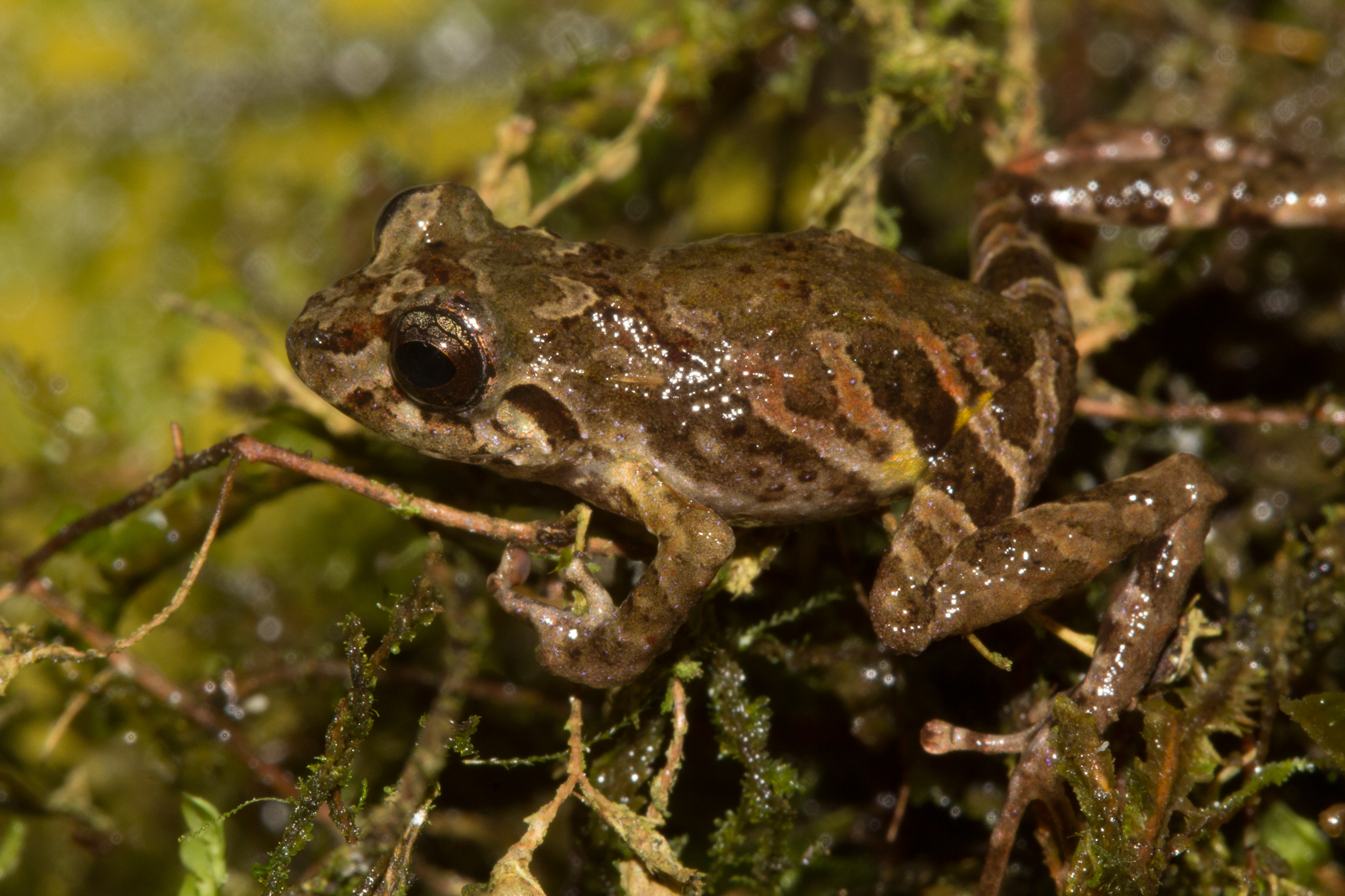 A new species of terrestrial terrarana frog in the genus Pristimantis, discovered between Camps 3 and 4. Photo by Santiago Castroviejo