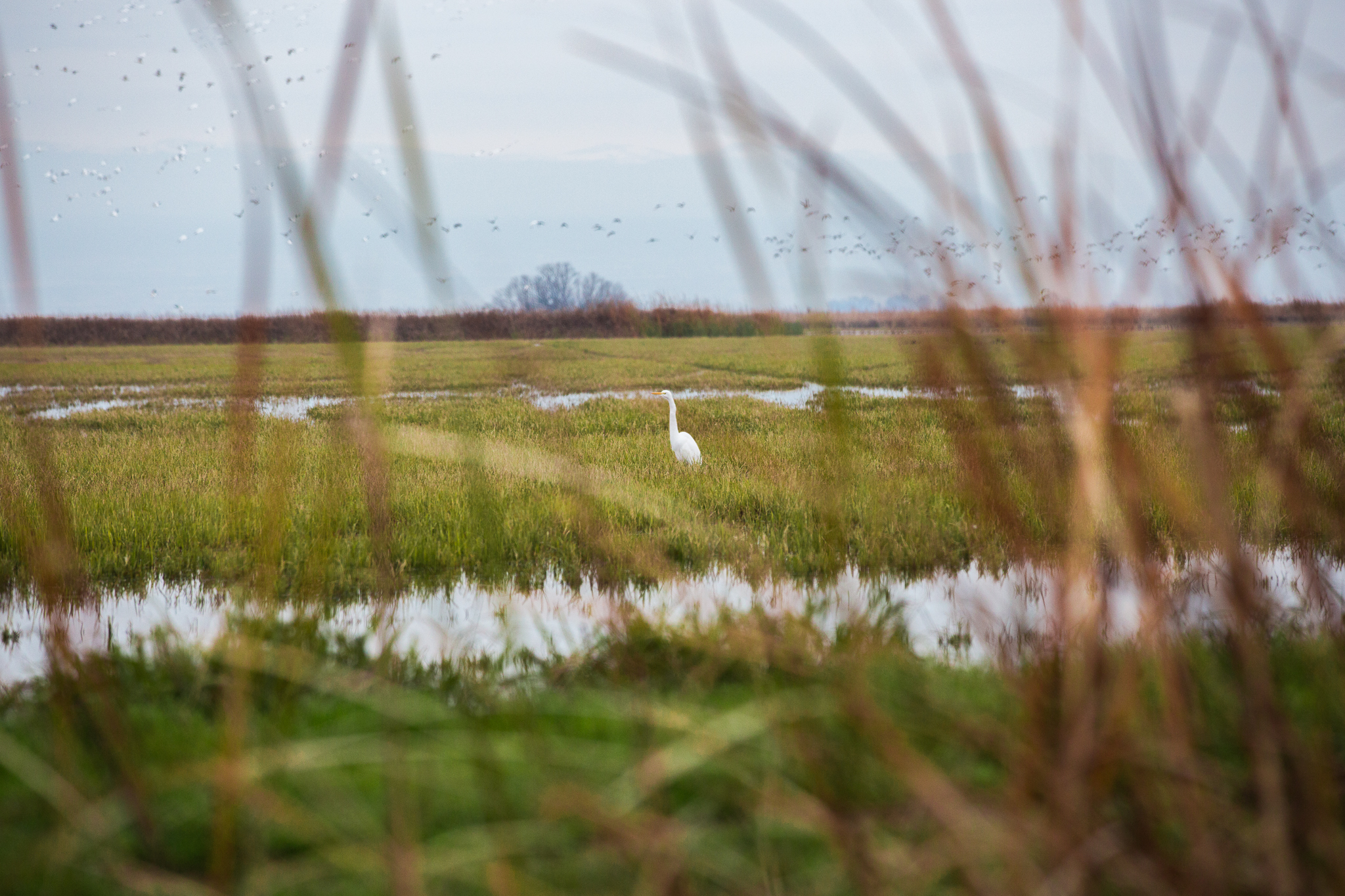 The flooded rice fields along the Pacific Flyway attract many species of birds; including egrets, herons, oystercatchers, and godwits.