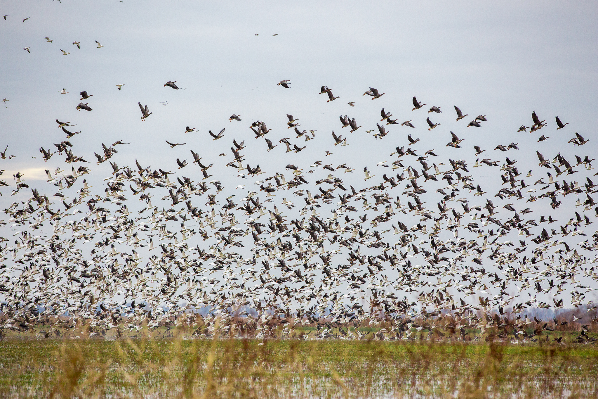 A flock of birds takes off from a field near Richvale, California—their collective wing beats filling the air with a mass of bodies and a rush of sound.