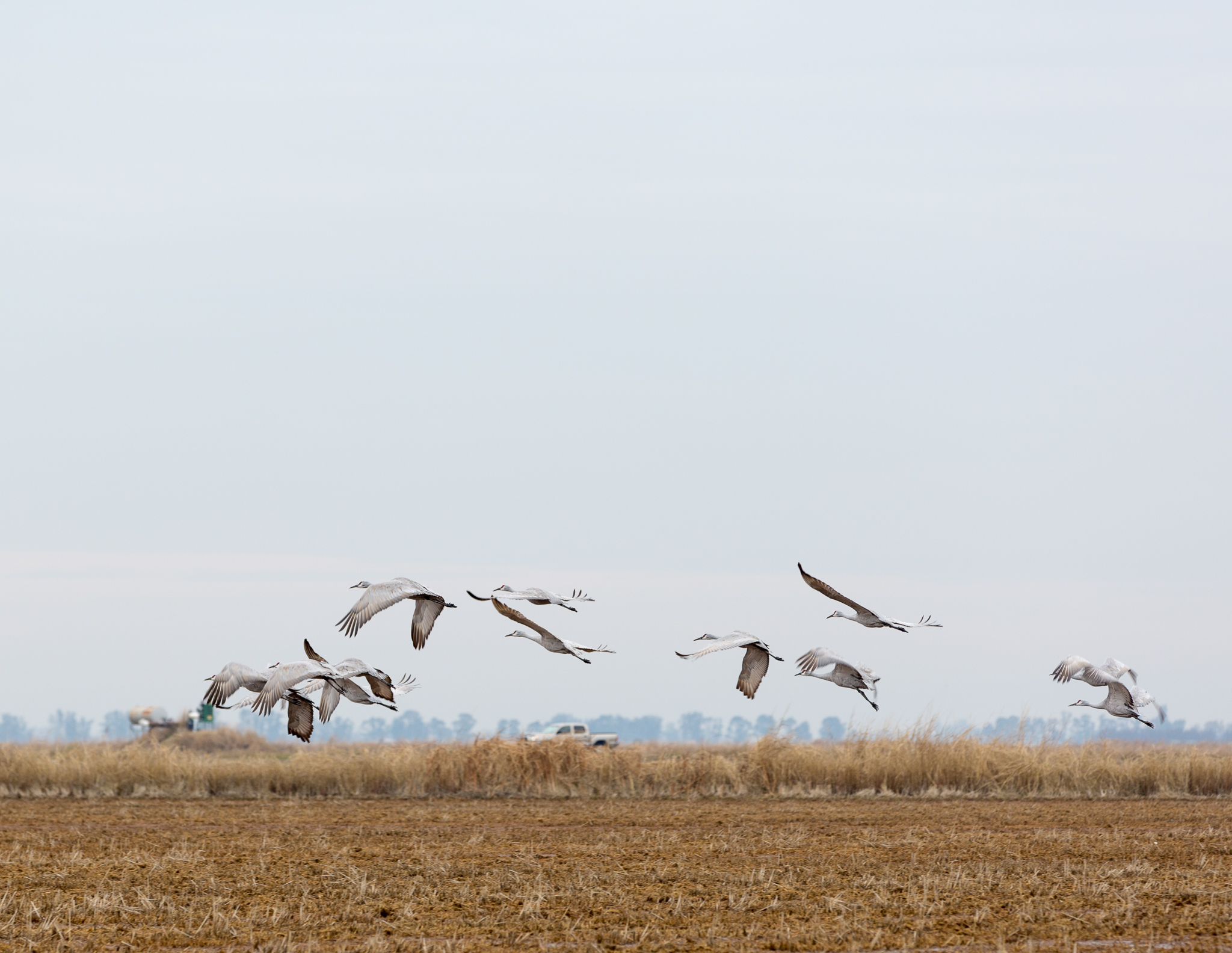 Sandhill cranes lift off over a rice field near Richvale, California.