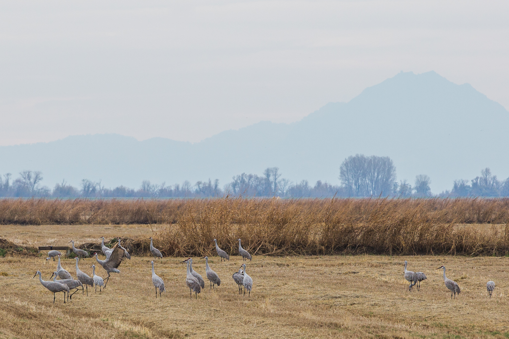 Sandhill cranes rest in a Central Valley rice field with Sutter Buttes in the background.