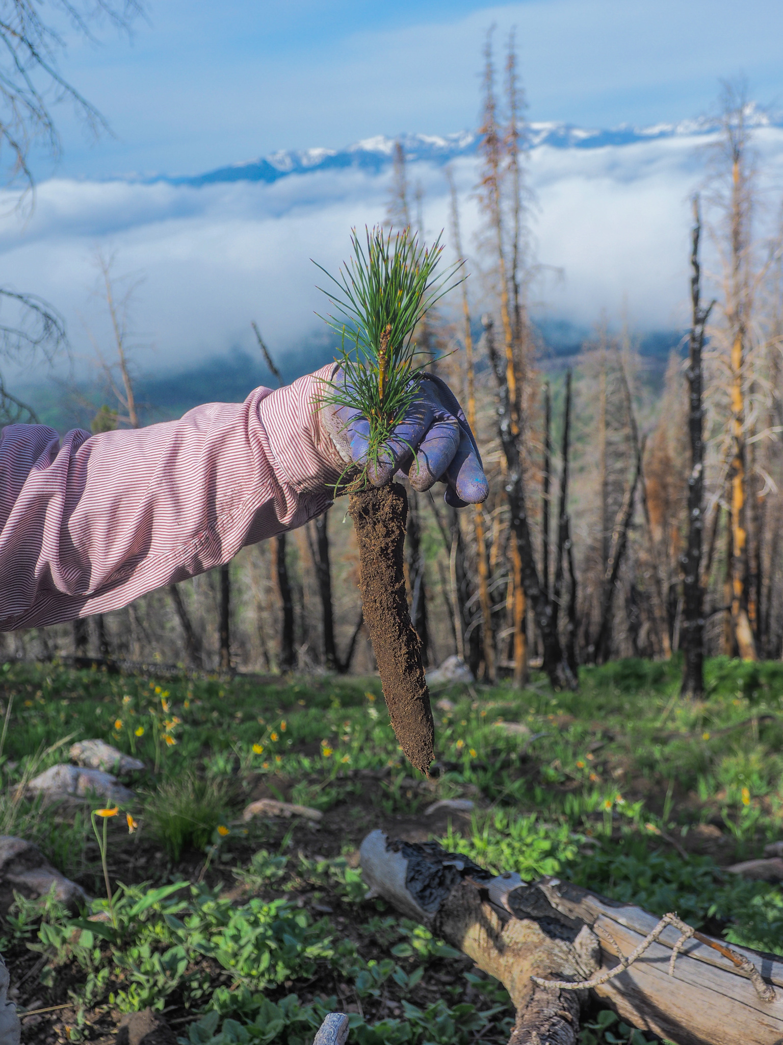 Forest technician Jes Falvey holds up a whitebark pine seedling reared from a rust-resistant mother tree—Custer-Gallatin National Forest, Montana.
