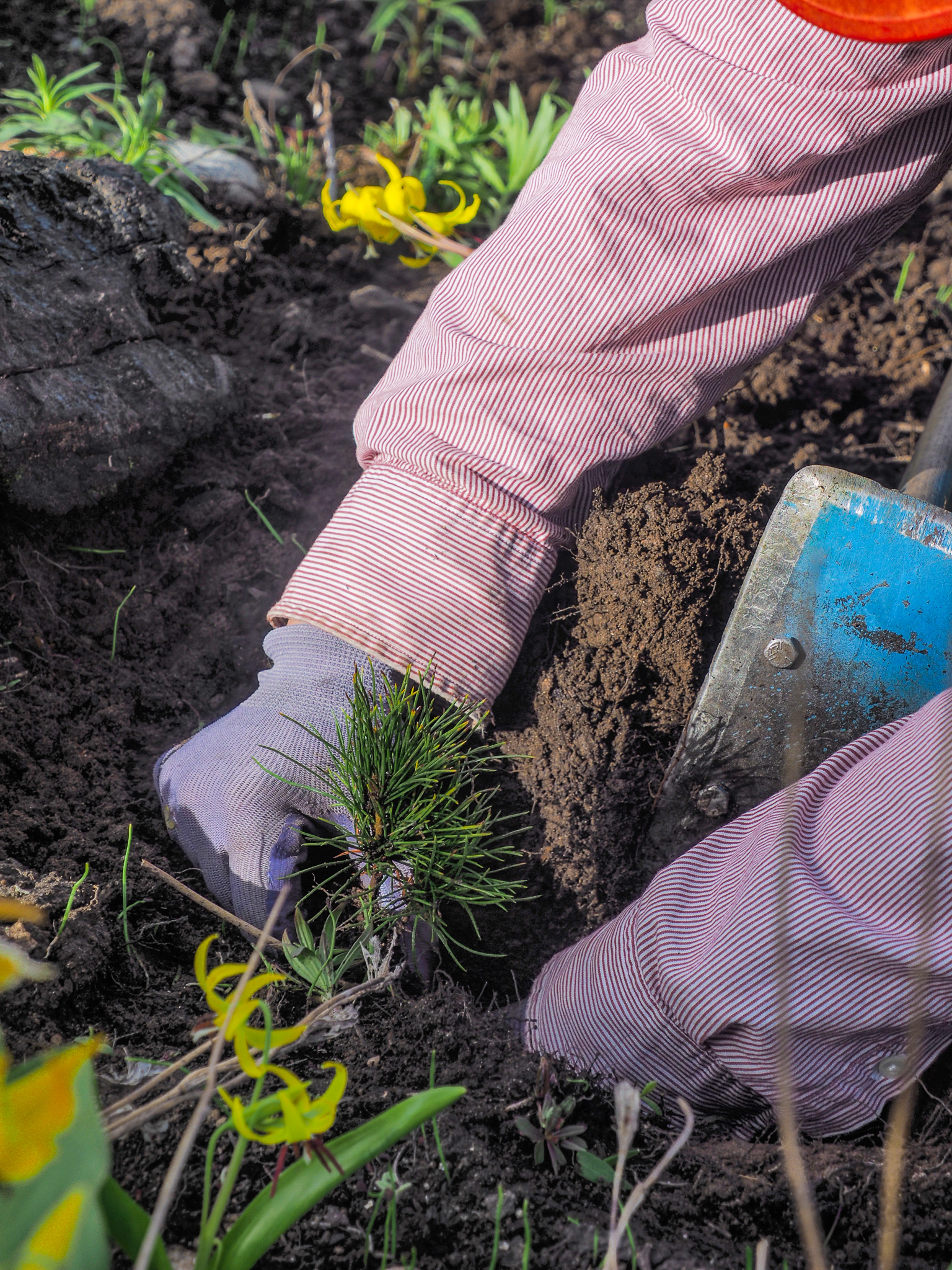 Jes Falvey plants a rust-resistant seedling at the site of a recent forest fire—Custer-Gallatin National Forest, Montana.