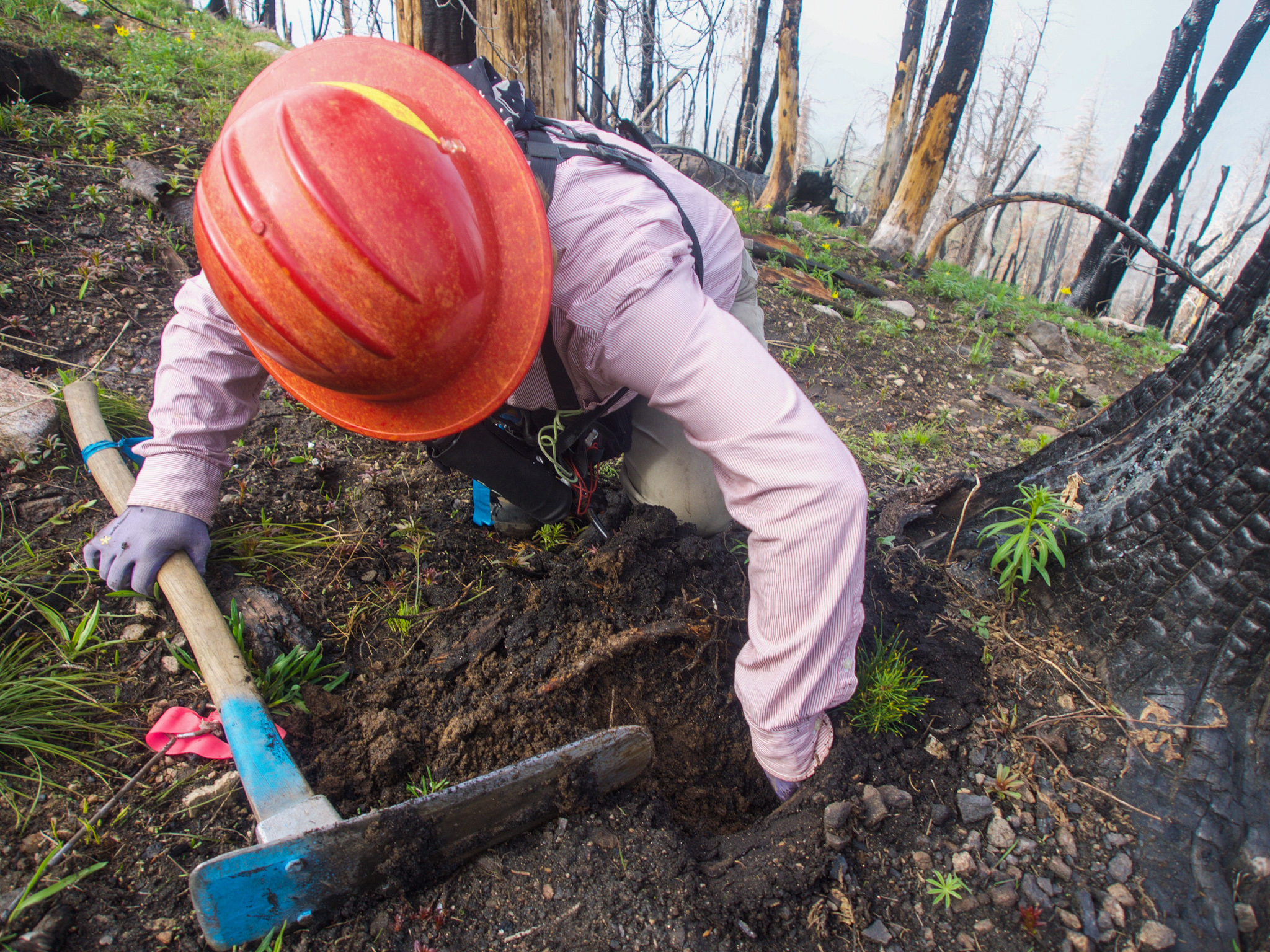 Forest technician Jes Falvey inspects a rust-resistant seedling at the site of a recent forest fire—Custer-Gallatin National Forest, Montana.