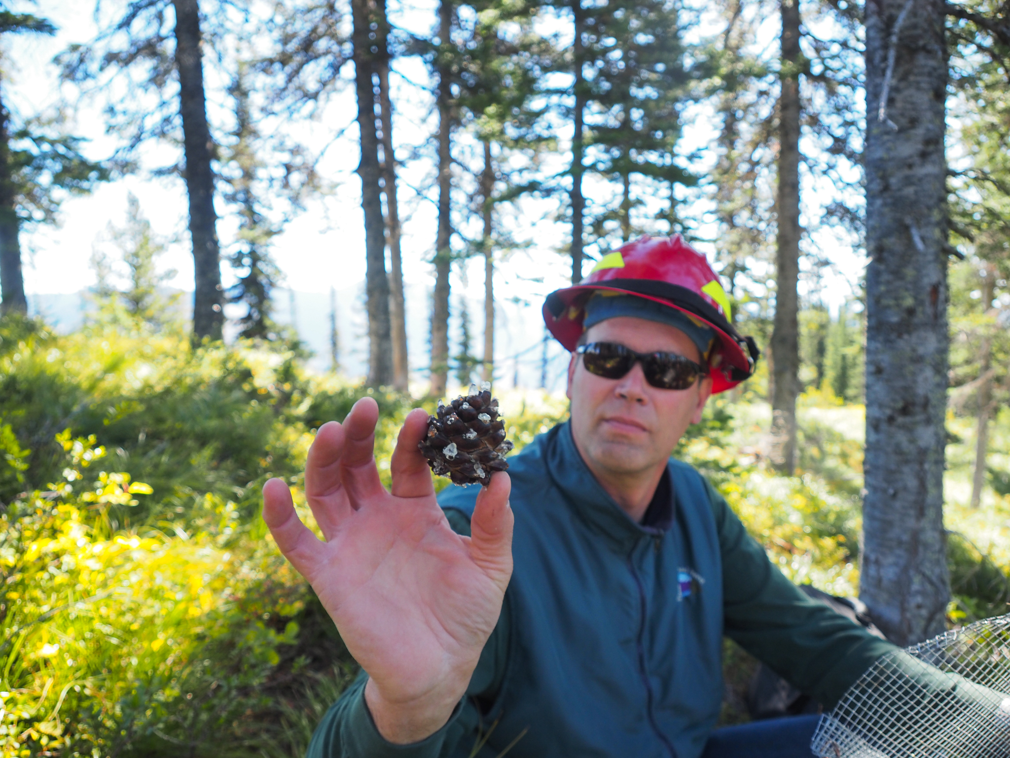 Forester Karl Anderson holds up a pine cone collected from a whitebark pine that is resistant to the blister rust fungus—Flathead National Forest, Montana.