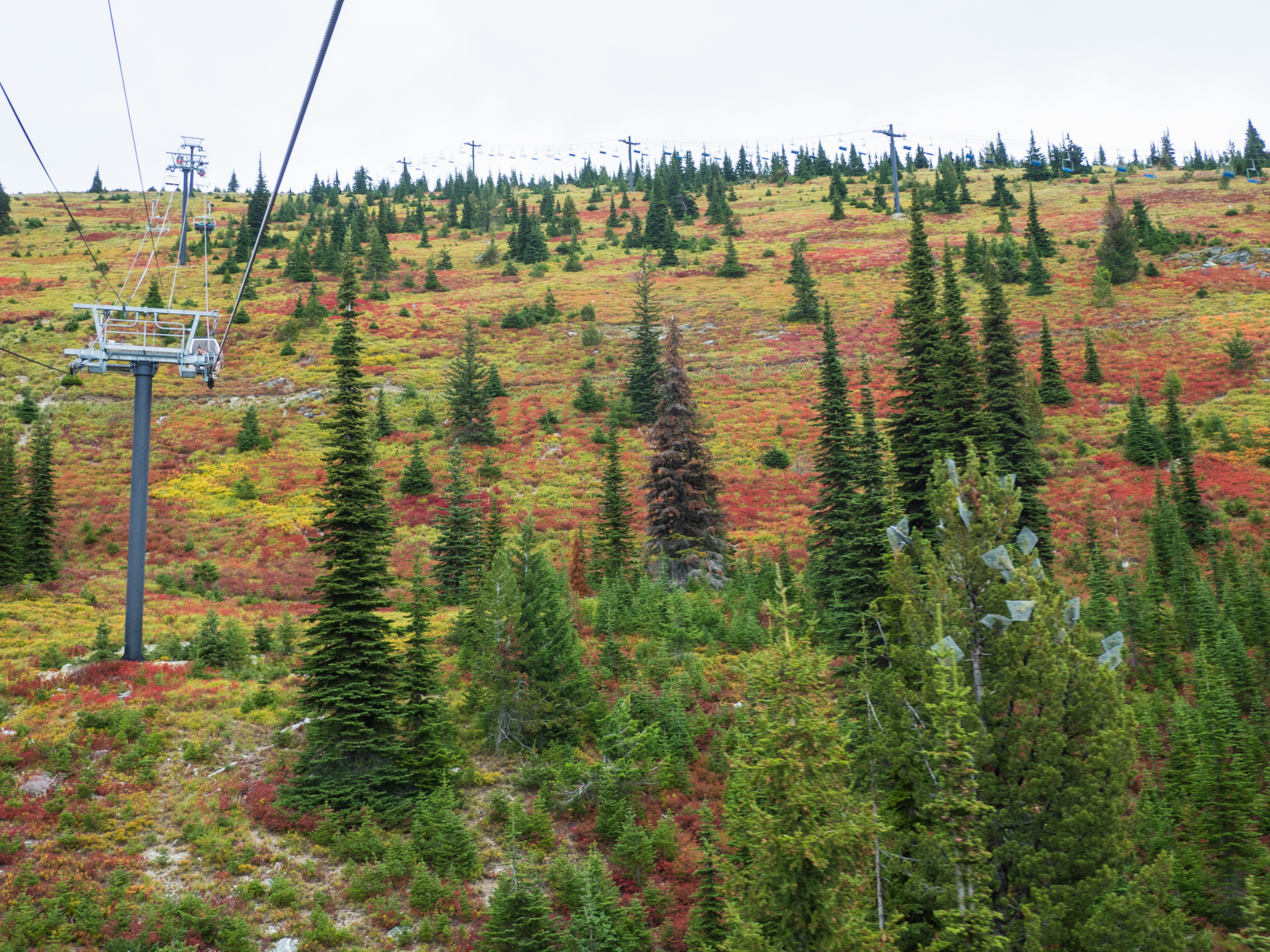 "Wire mesh cages protect the cones of whitebark pine ""plus trees,"" which have shown resistance to blister rust infection—Whitefish Mountain Resort, Montana."