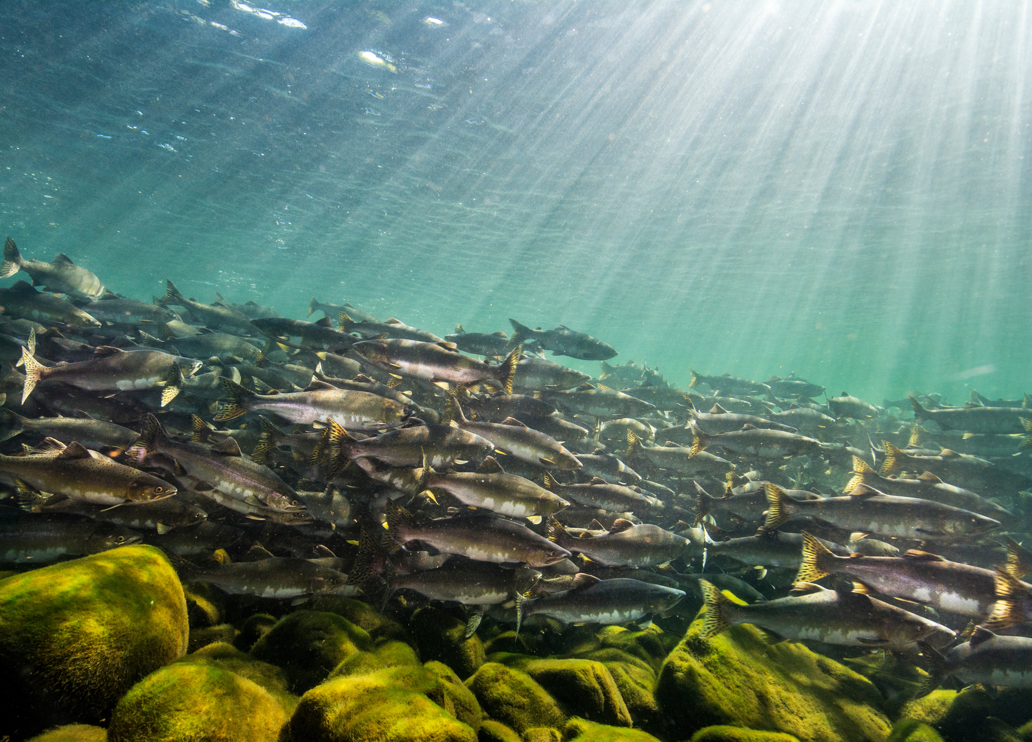 Adult pink salmon make their way up British Columbia's Campbell River. Photo by April Bencze