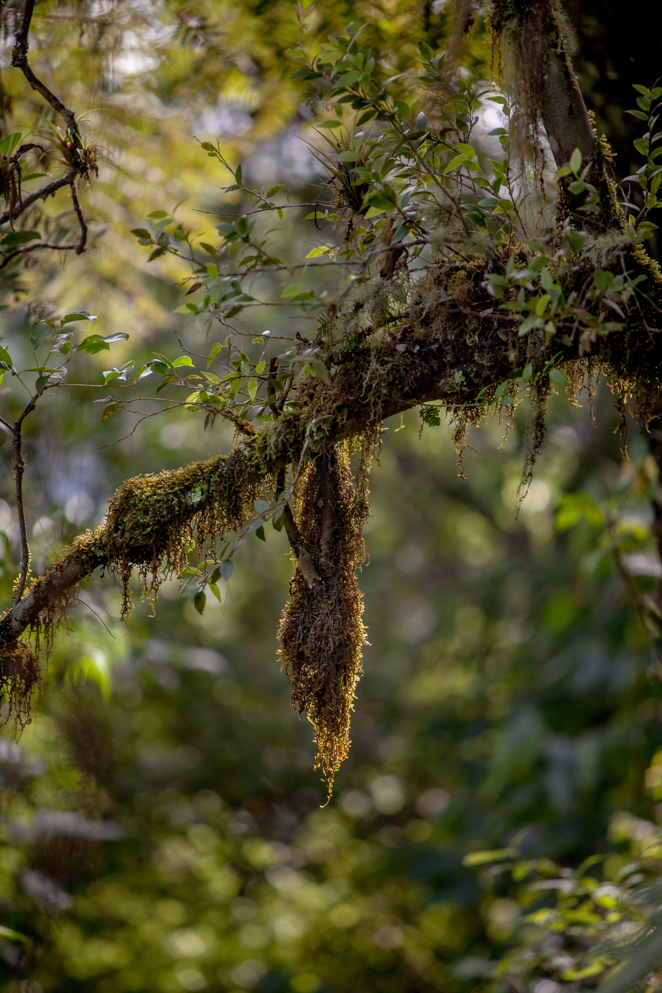 Moss hangs from the branch of a typical cloud forest tree, Veracruz Mexico.