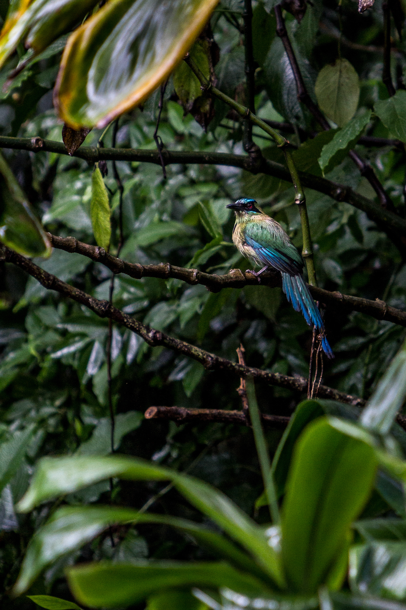 A blue-crowned motmot (Momotus momota) seeks shelter from the rain in the lower branches of a cloud forest tree near Xalapa, Veracruz.