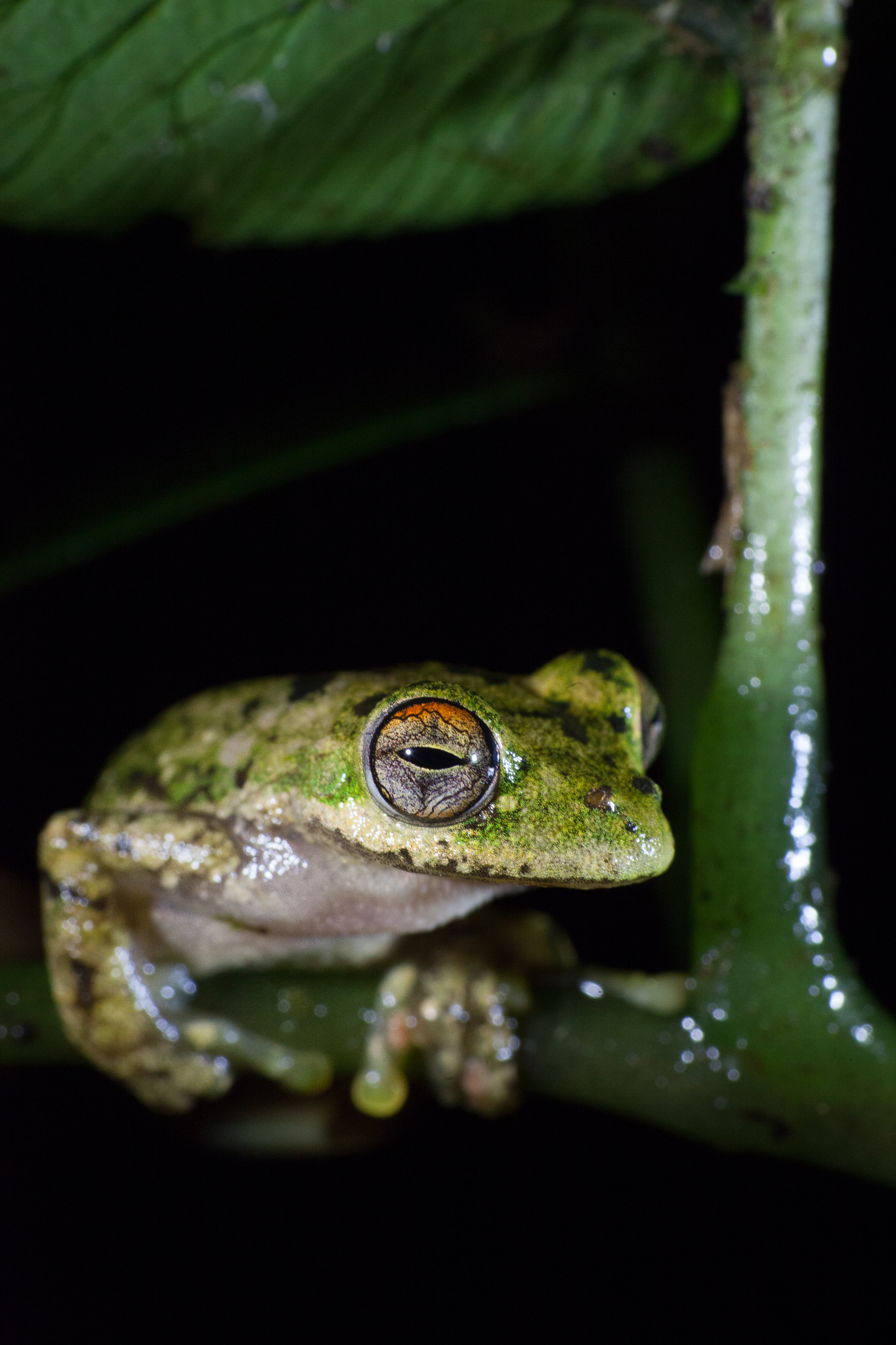 Although listed as near-threatened, this tree frog (Ecnomiohyla miotympanum) is relatively common in the cloud forests around Veracruz, Mexico.