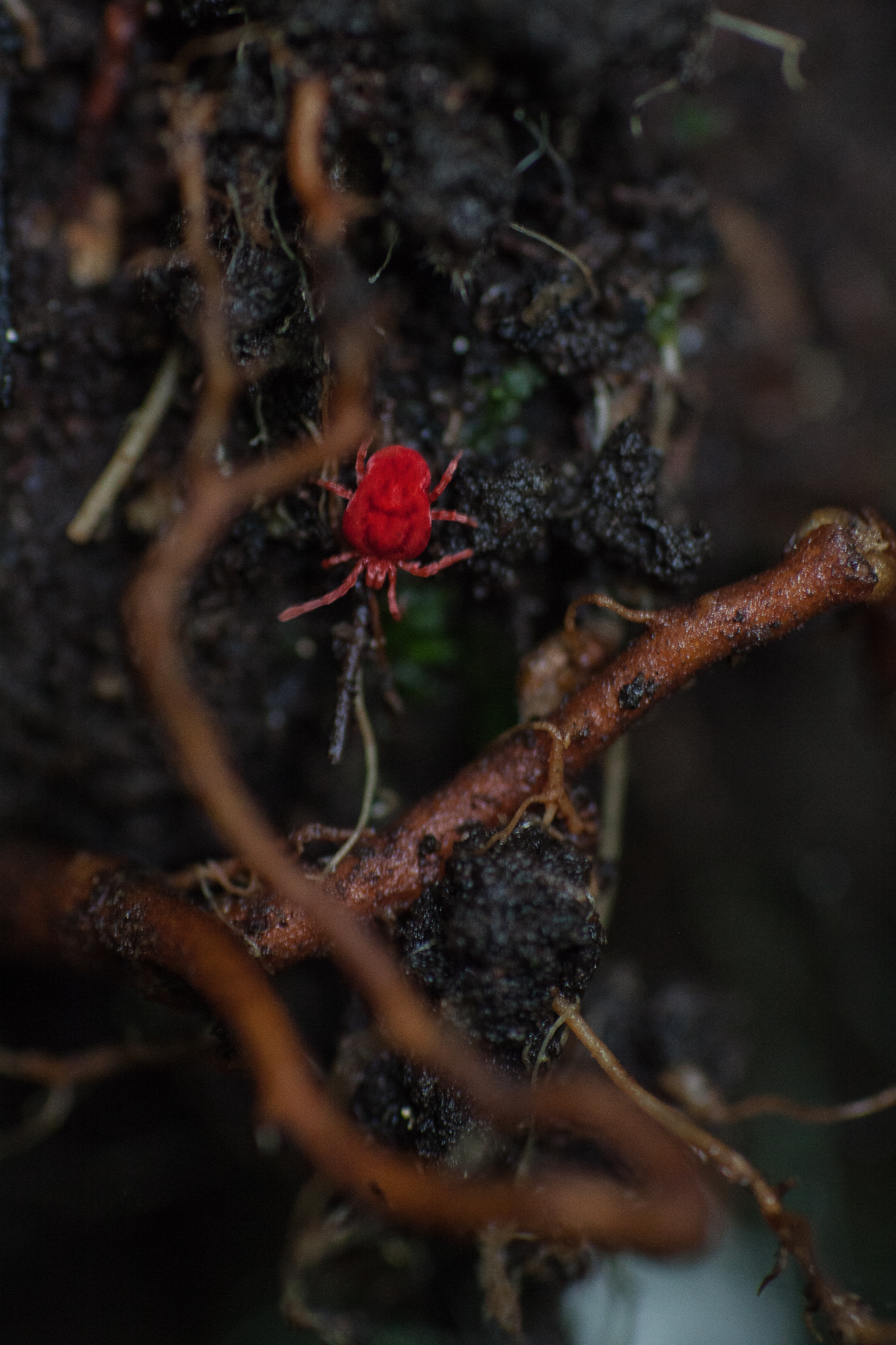 Brightly colored velvet mites (Trombidiidae) like this one emerge from the forest litter after a rain to hunt for other small invertebrates.