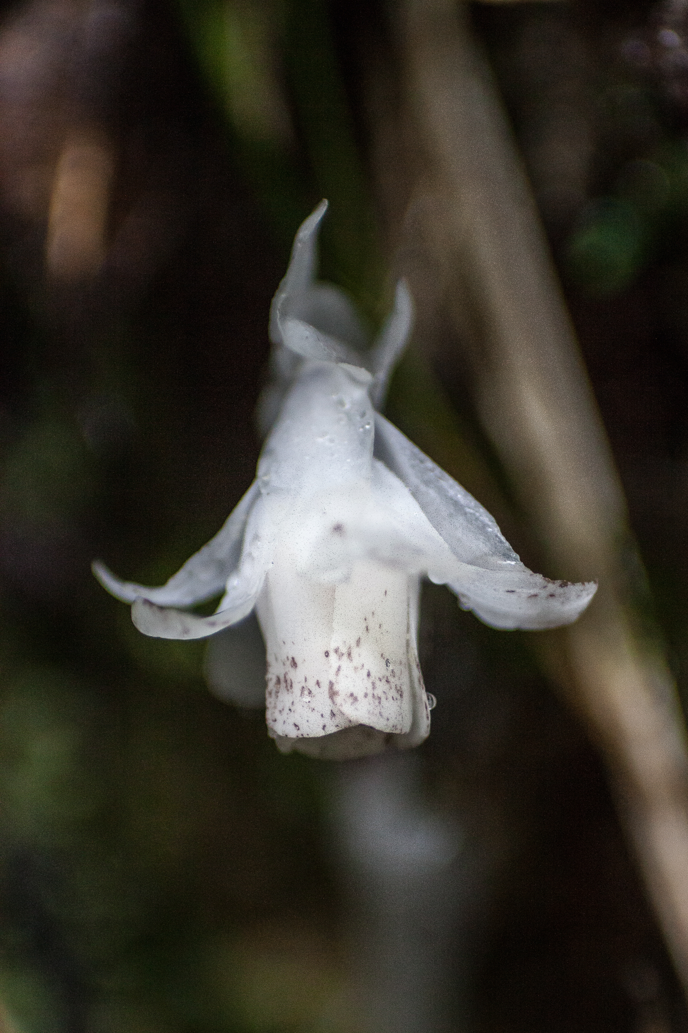 Indian pipe (Monotropa uniflora) is a rare parasitic plant that is relatively abundant in the cloud forests of Veracruz.