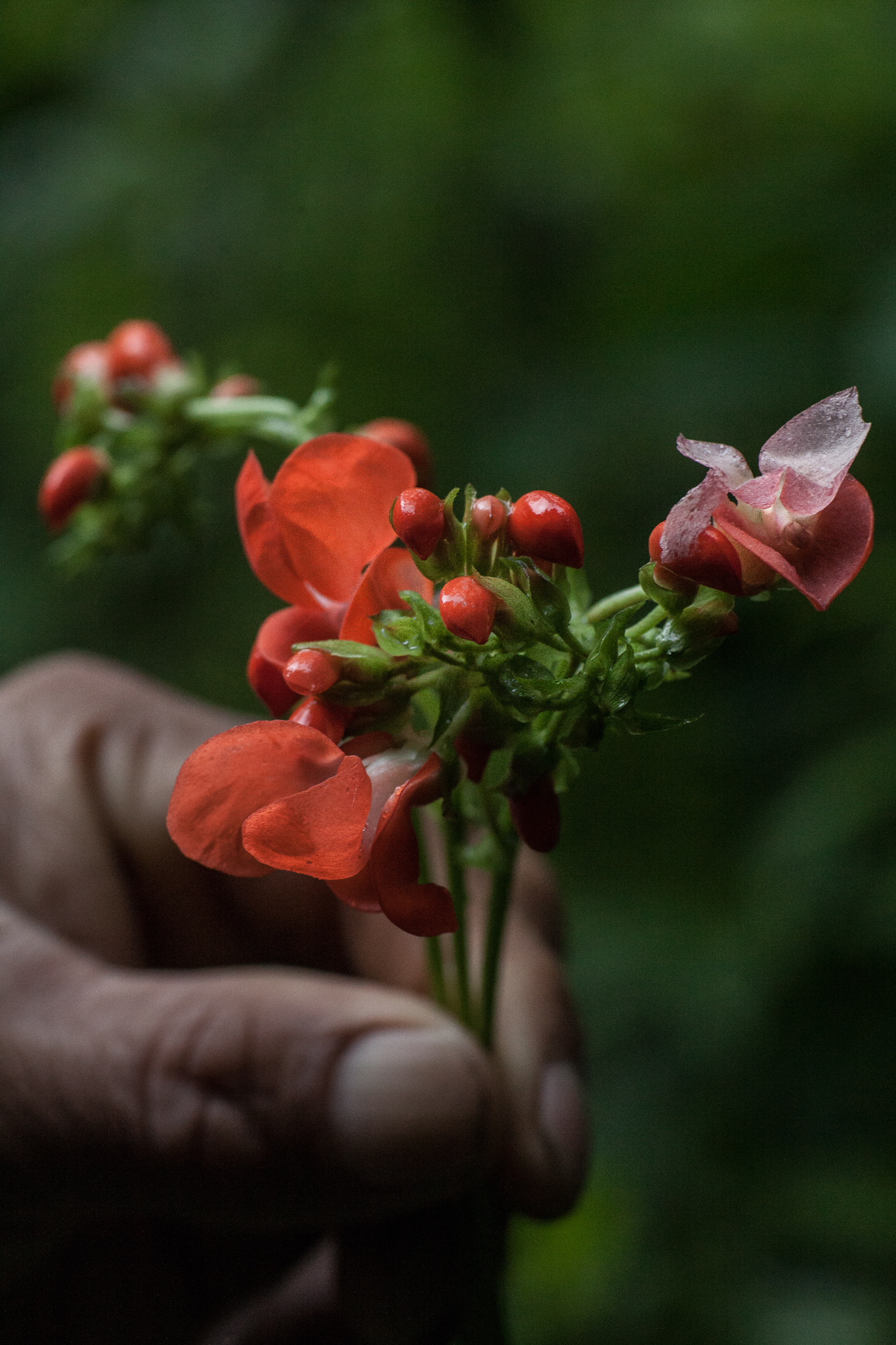 One of the many native cloud-forest plants that locals collect and use as food and medicine.