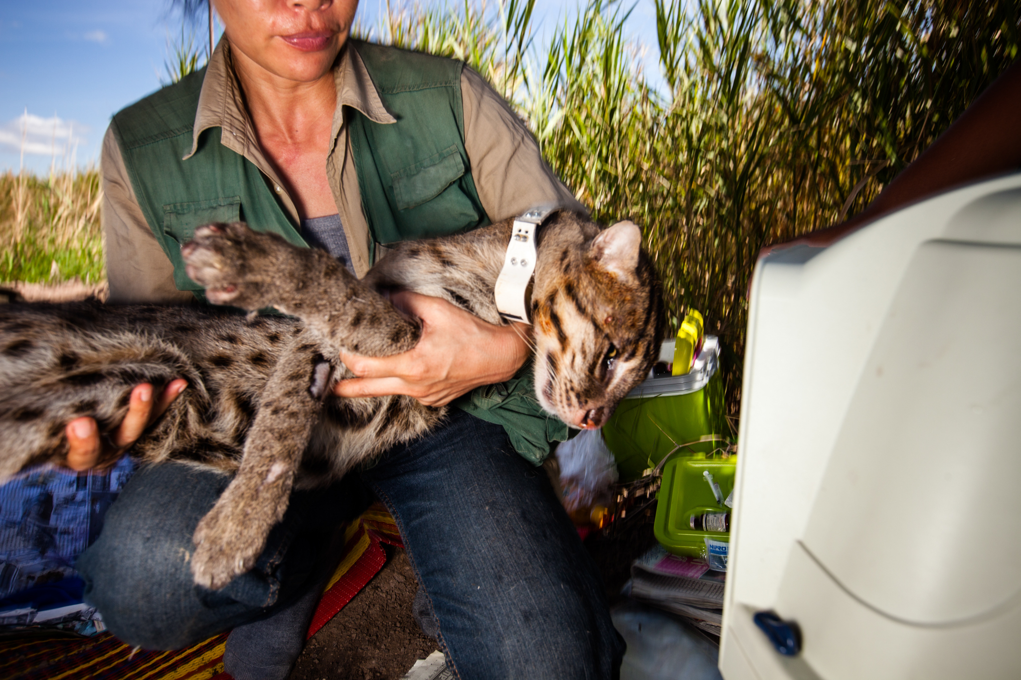 "After collaring and health checks, biologist and conservationist Namfon Cutter transfers a still slumbering fishing cat to the ""recovery"" room. The cat will not be released until it has fully awakened from sedation."